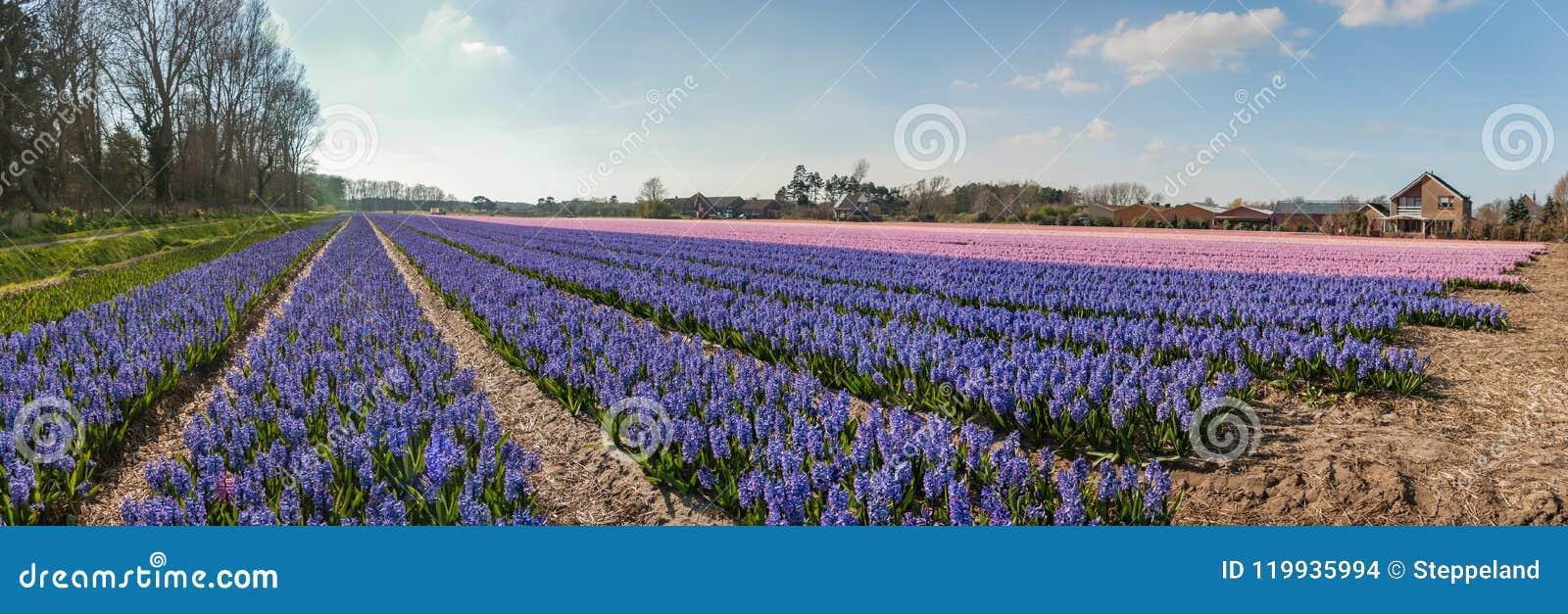 Egmond-binnen, os Países Baixos - em abril de 2016: Flowerfields com panorama roxo e cor-de-rosa dos jacintos