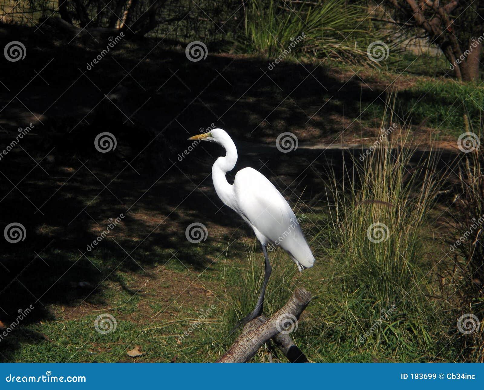 Egret śnieg