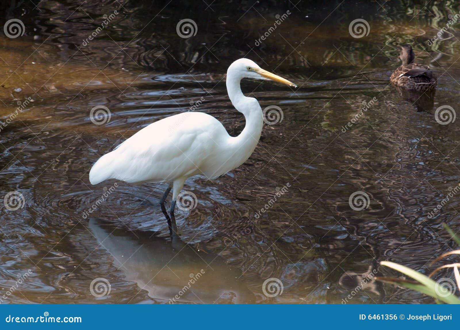 Egret śnieg watować