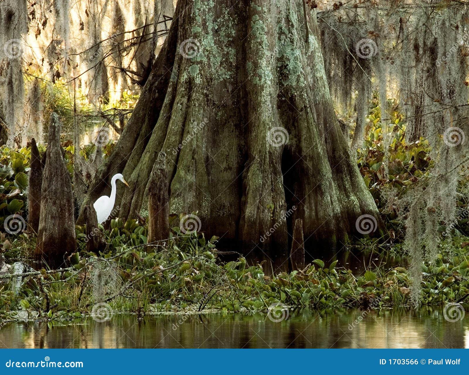 Egret кипариса