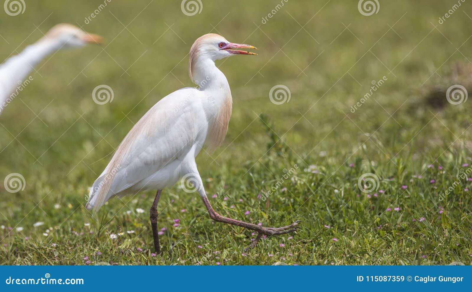 Egret скотин бродяжничая в луге