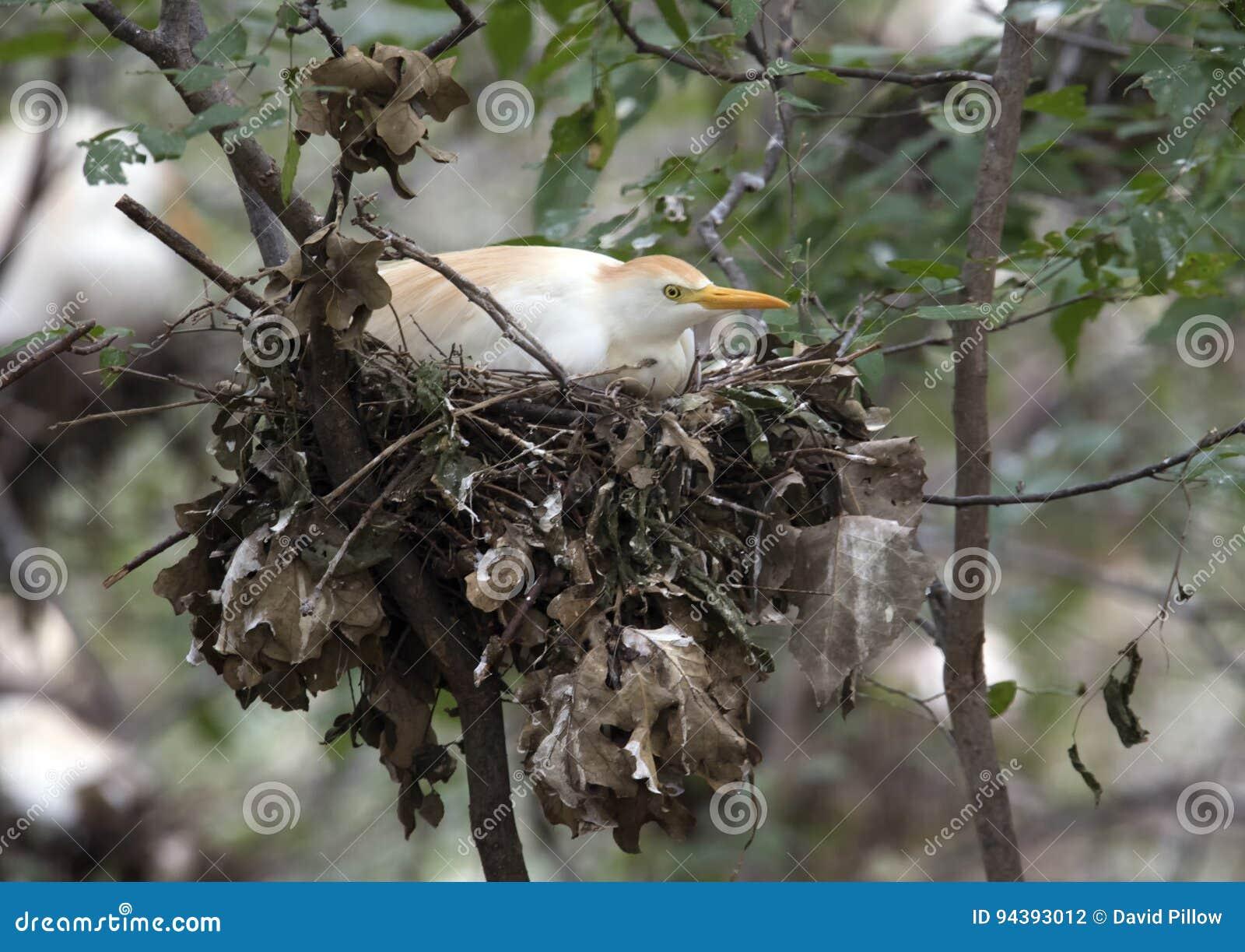 Egret скотин в гнезде