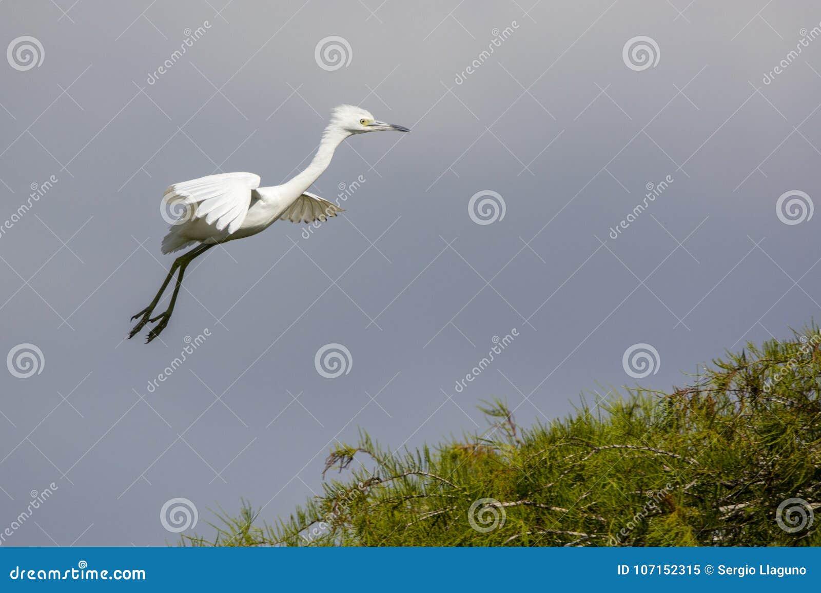 Egret скотин летания