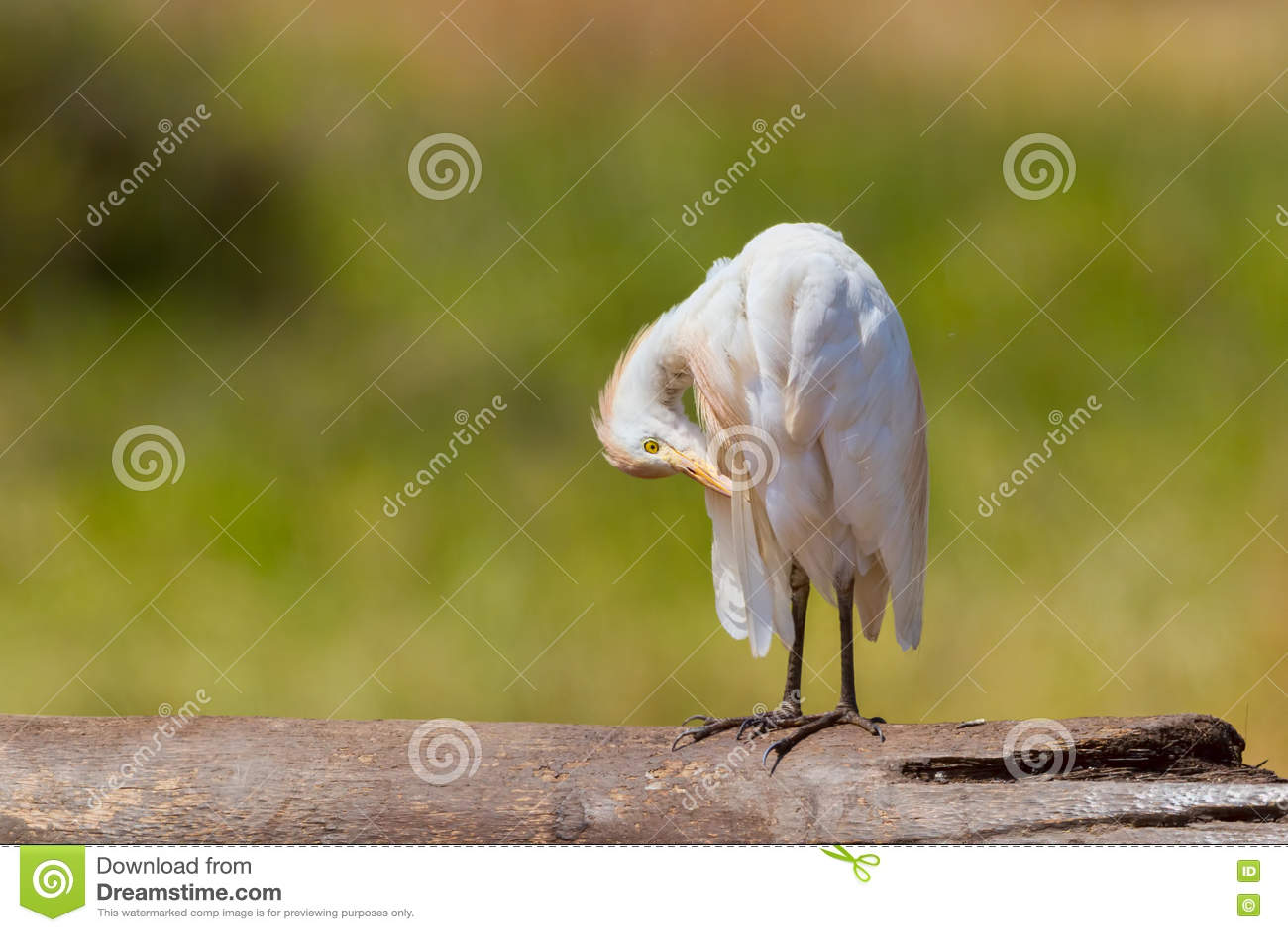 Egret скотин, прихорашиваясь
