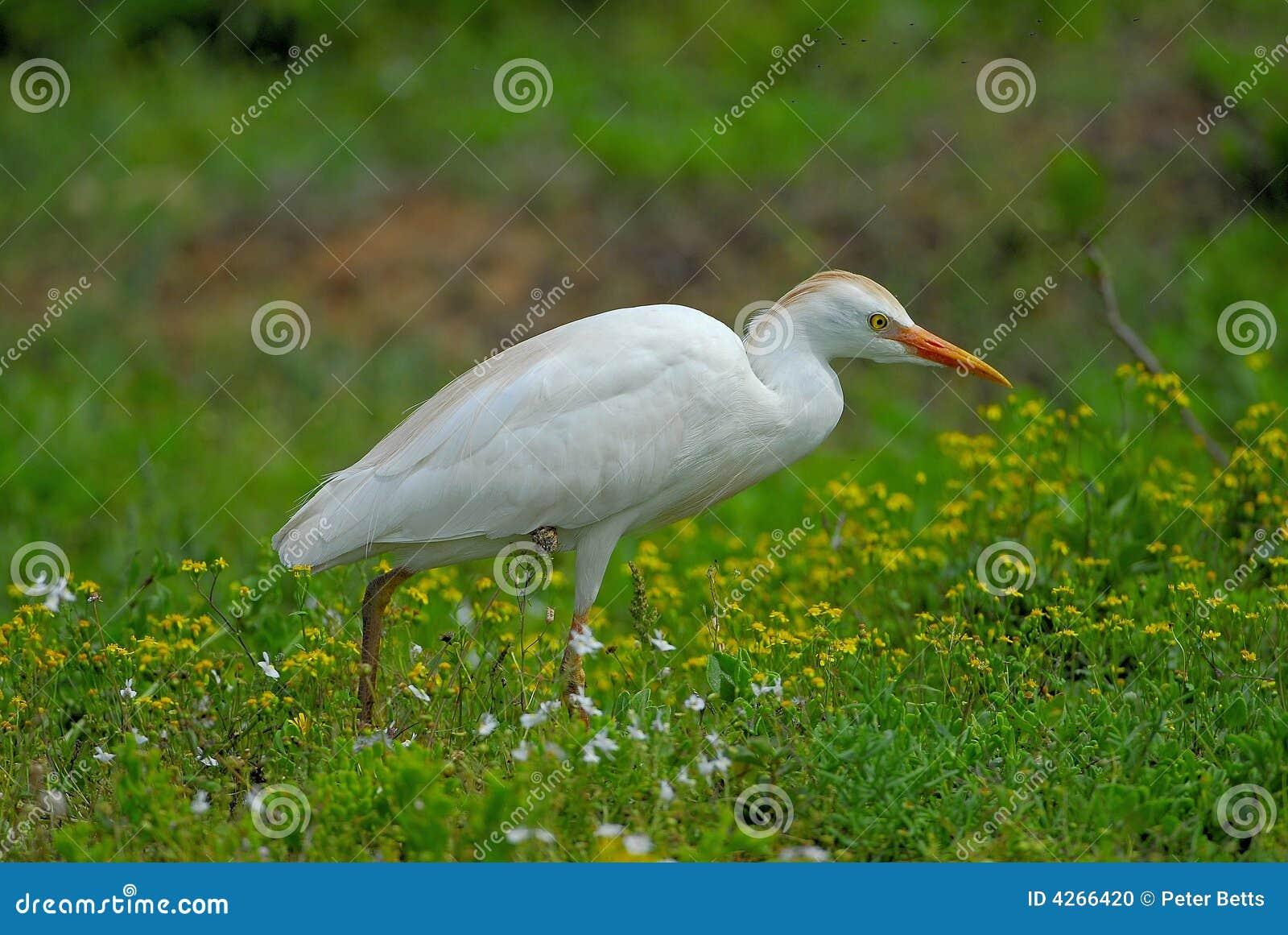 Egret скотин