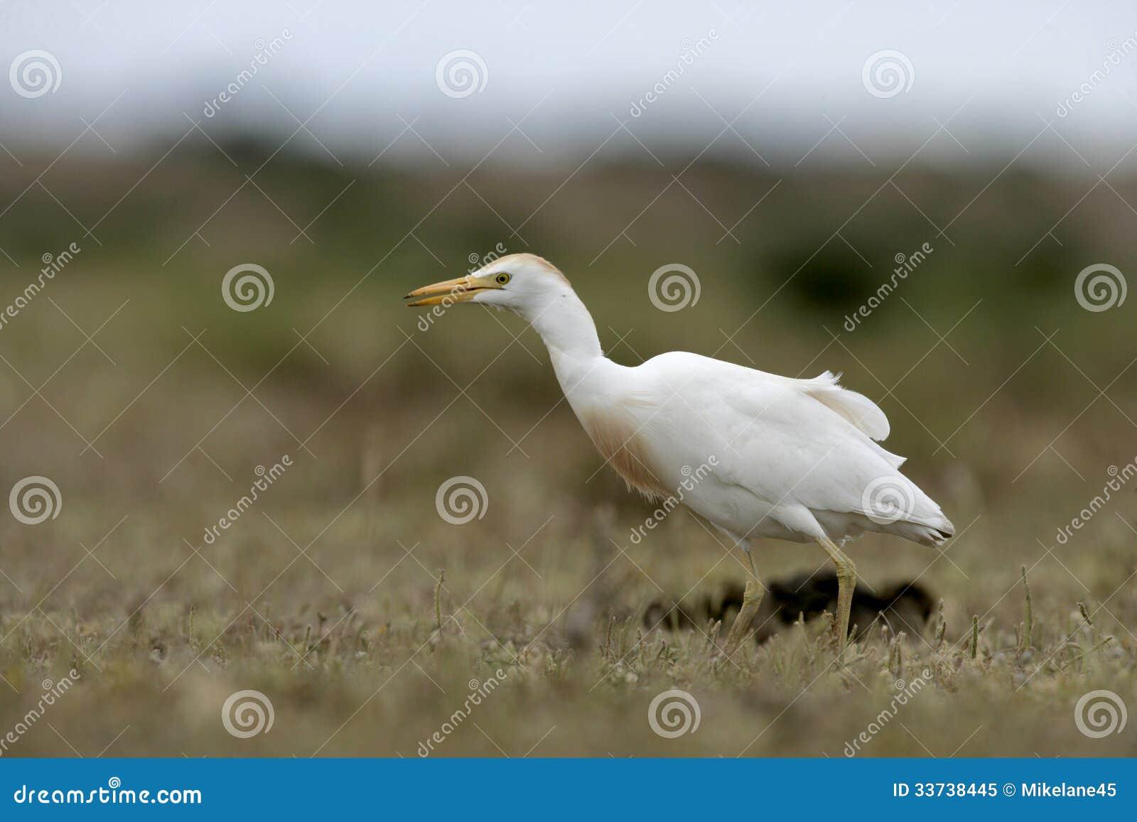 Egret скотин, Bubulcus ibis