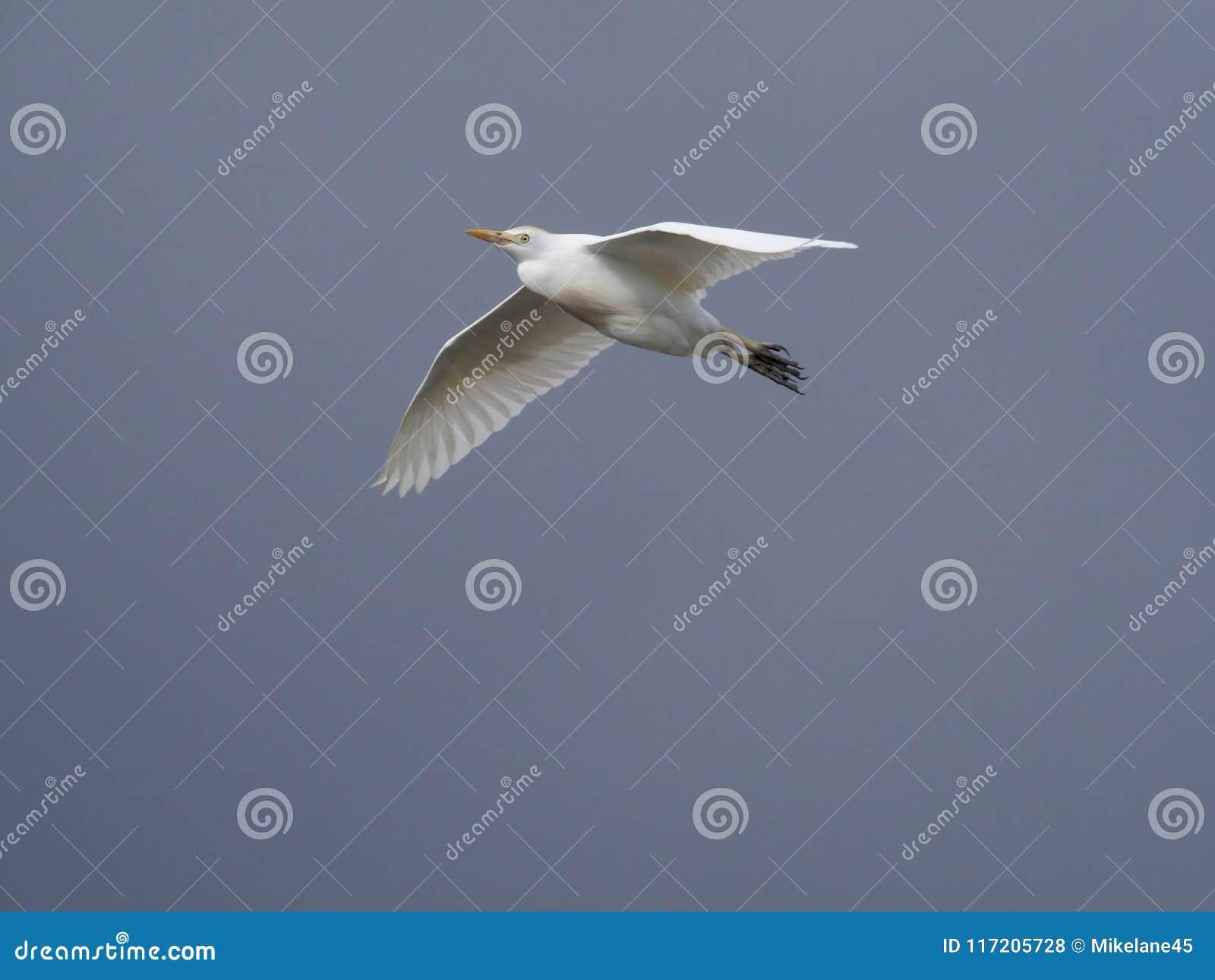 Egret скотин ibis bubulcus