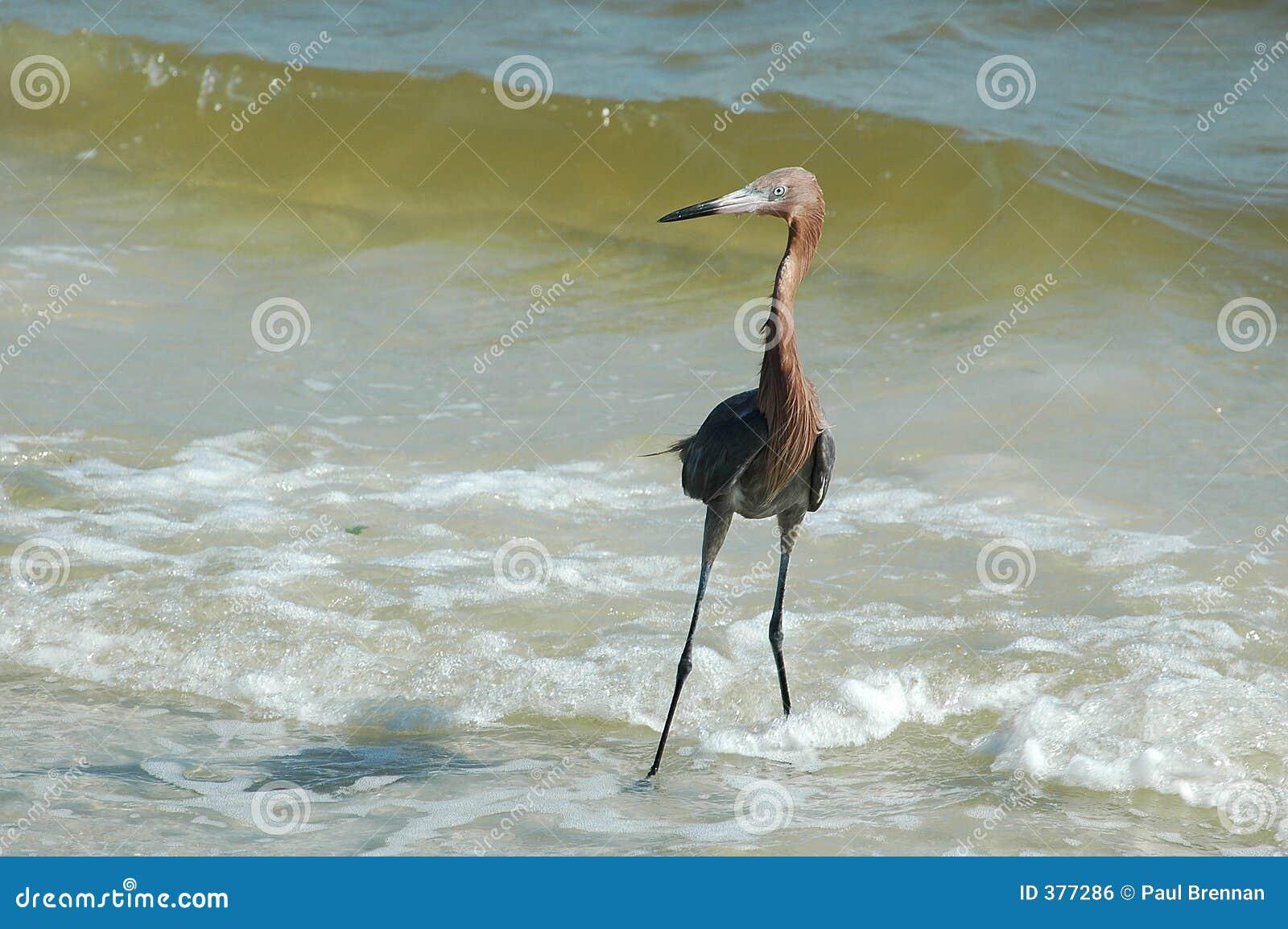 Egret avermelhado