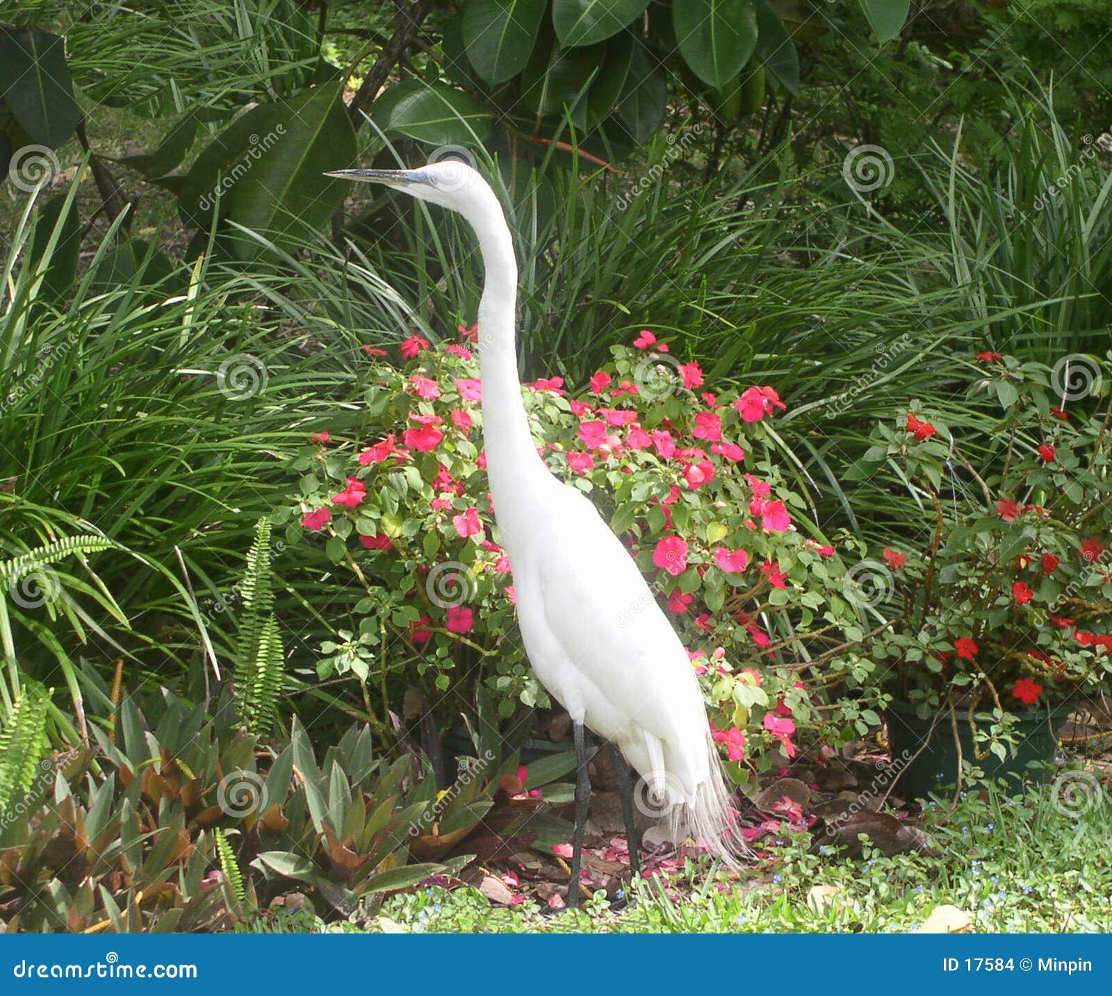 Egret blanco