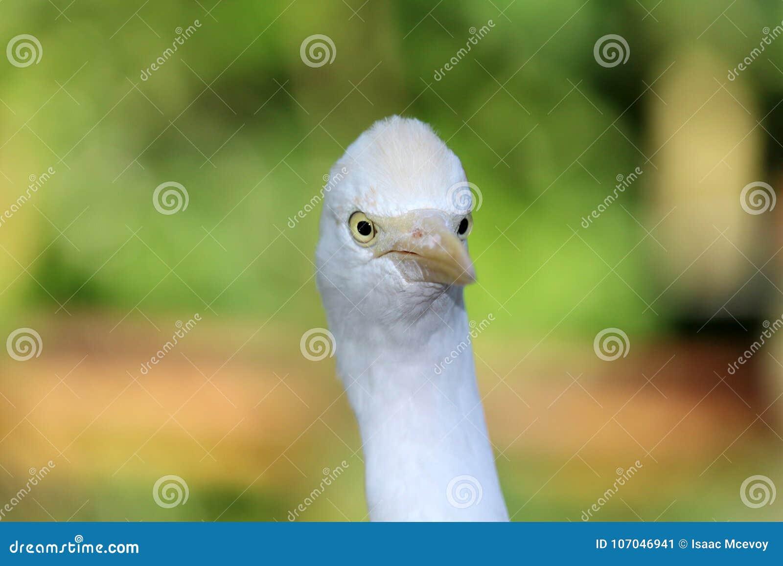 Egret de gado