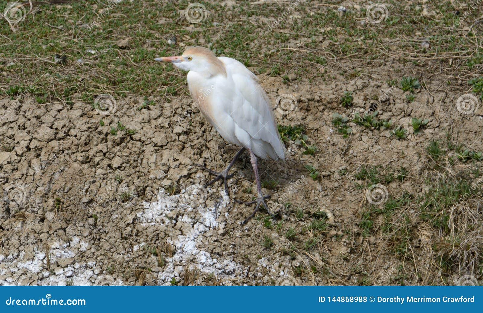 Egret de gado ocidental na costa do lago