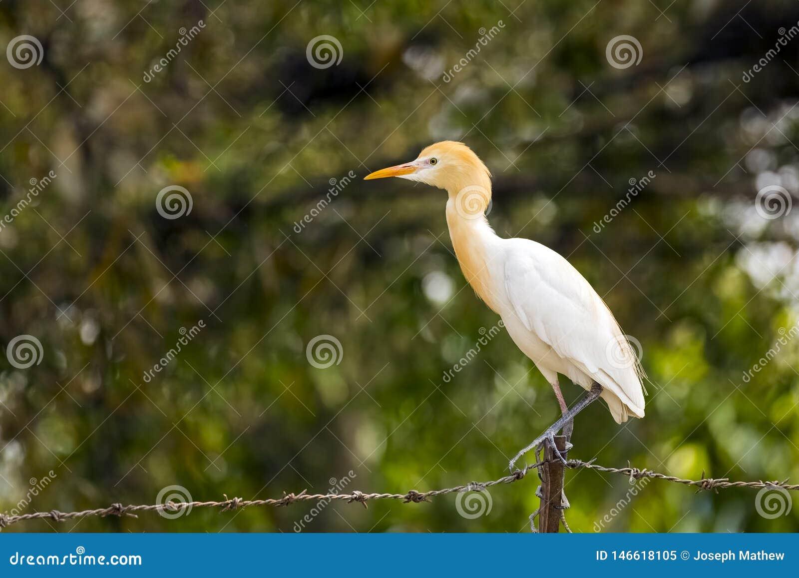 Egret de gado que situa no fundo blured arame farpado