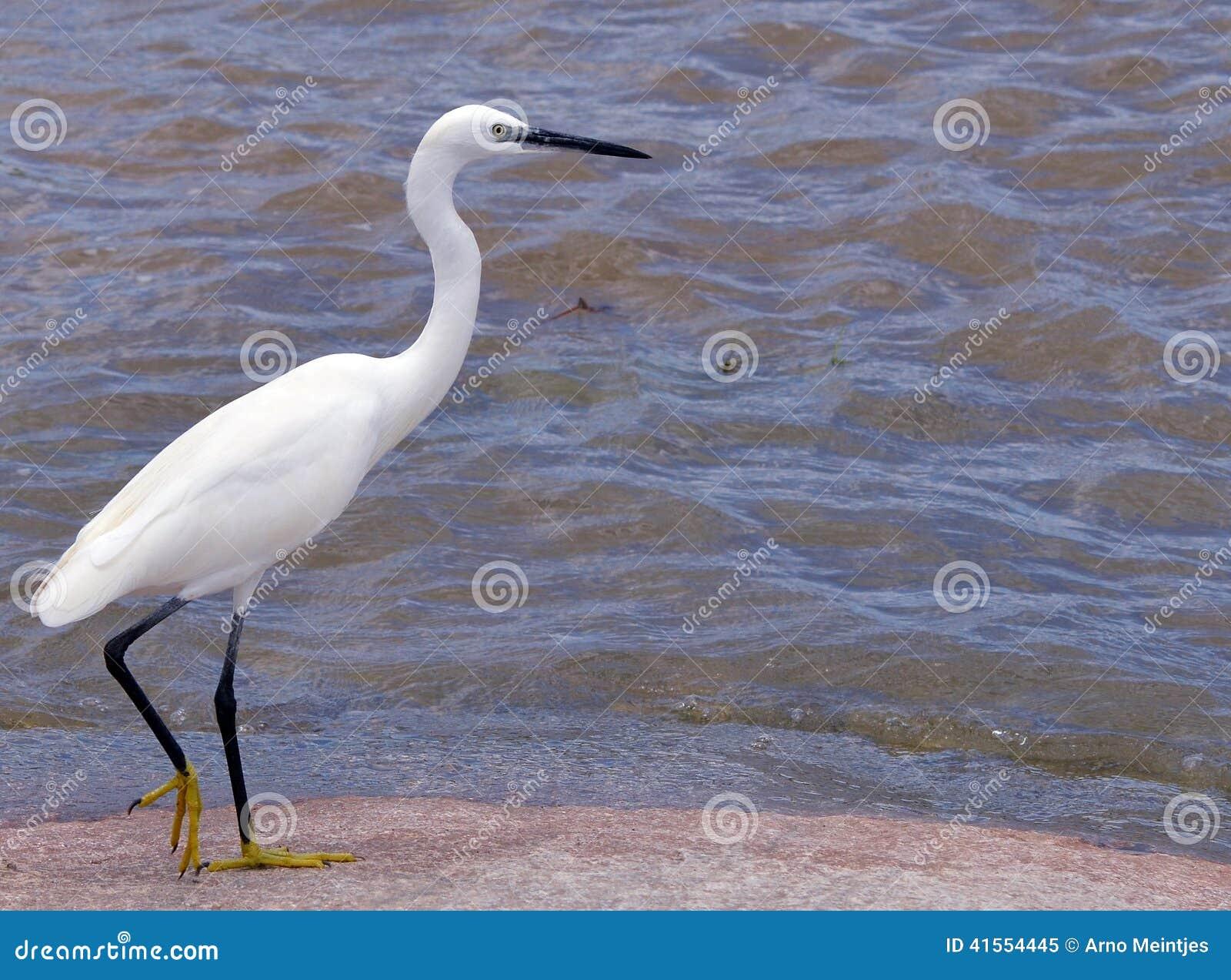 Egret egretta garzetta trochę