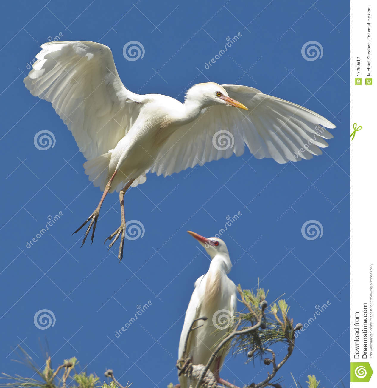 Egret Landing Stock Photography Image 18260812