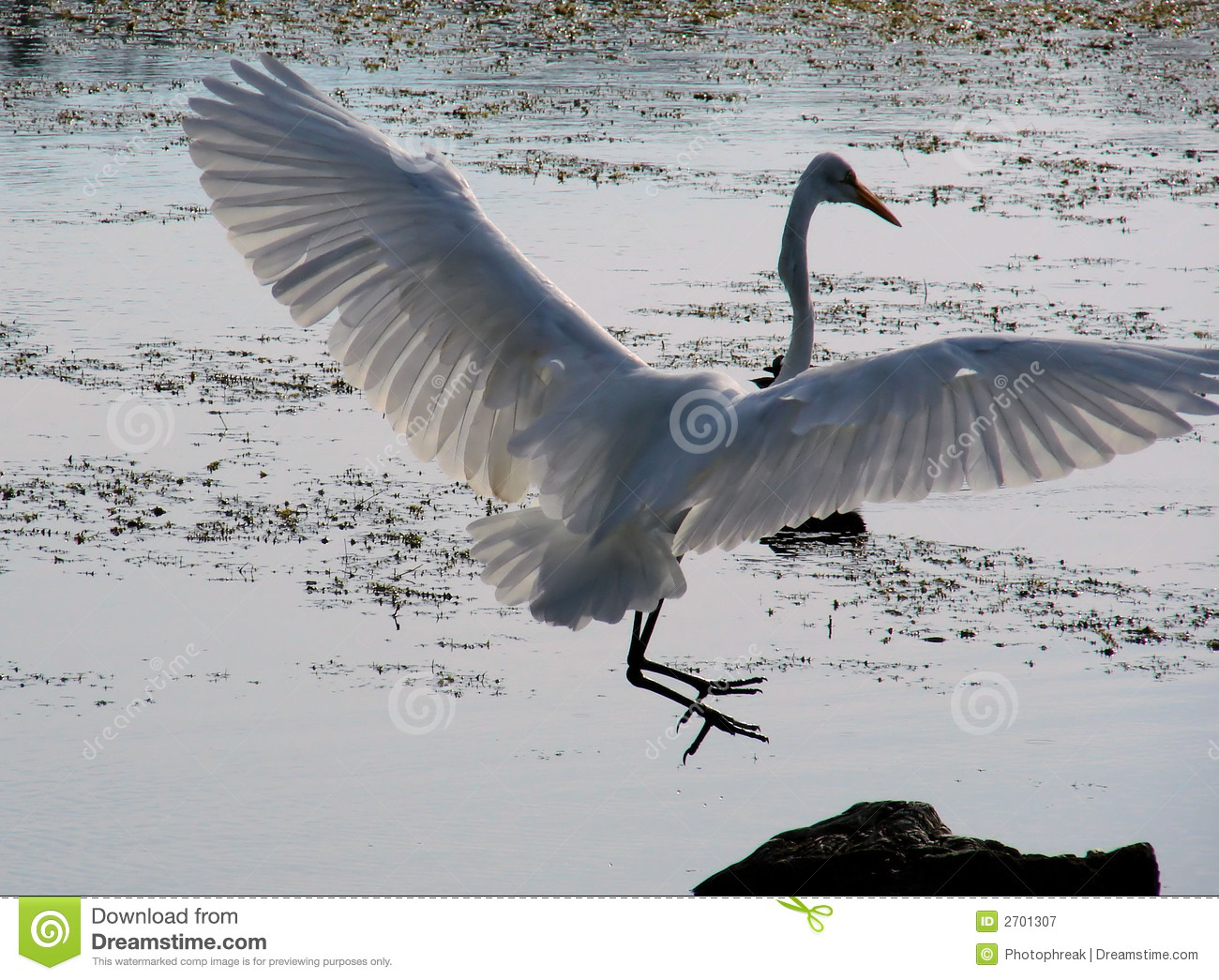 Egret Landing Royalty Free Stock Photography Image 2701307