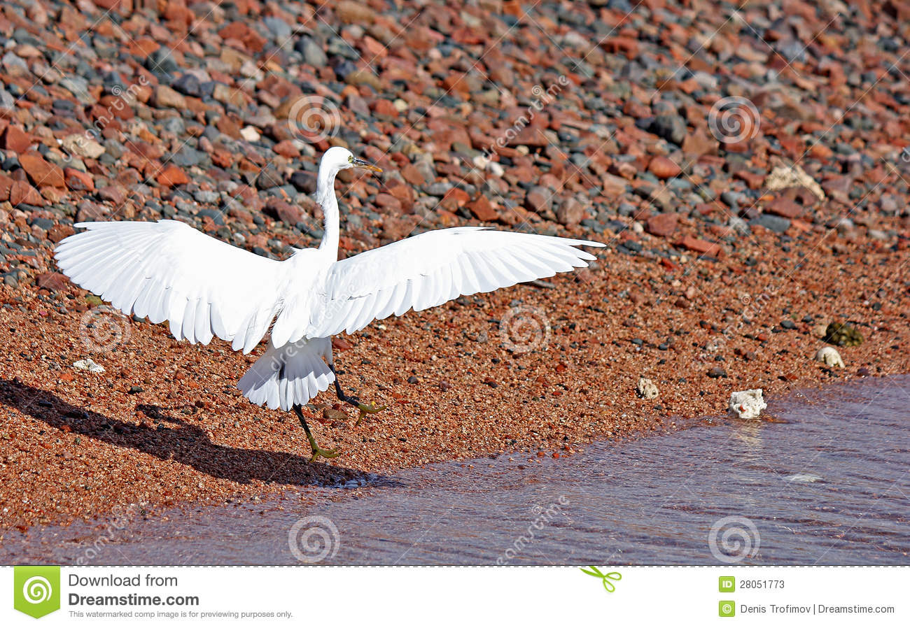Egret Landing Stock Photos Image 28051773