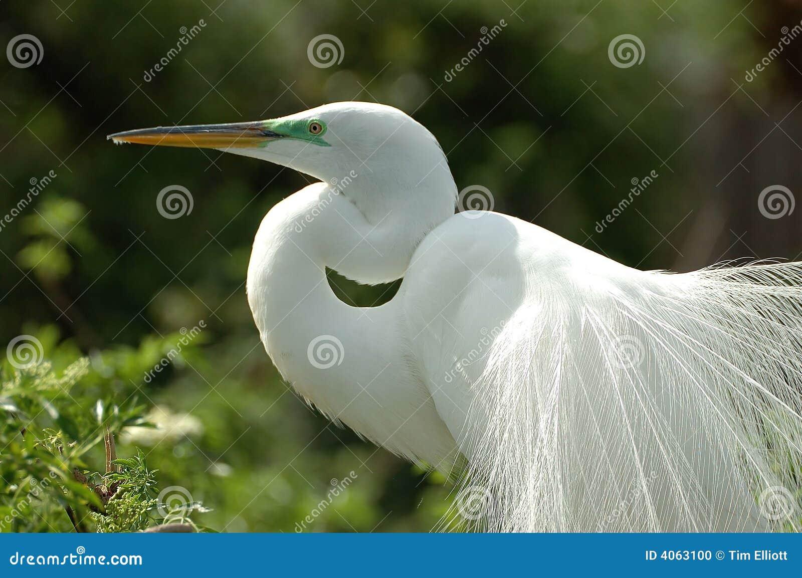 Egret nevado