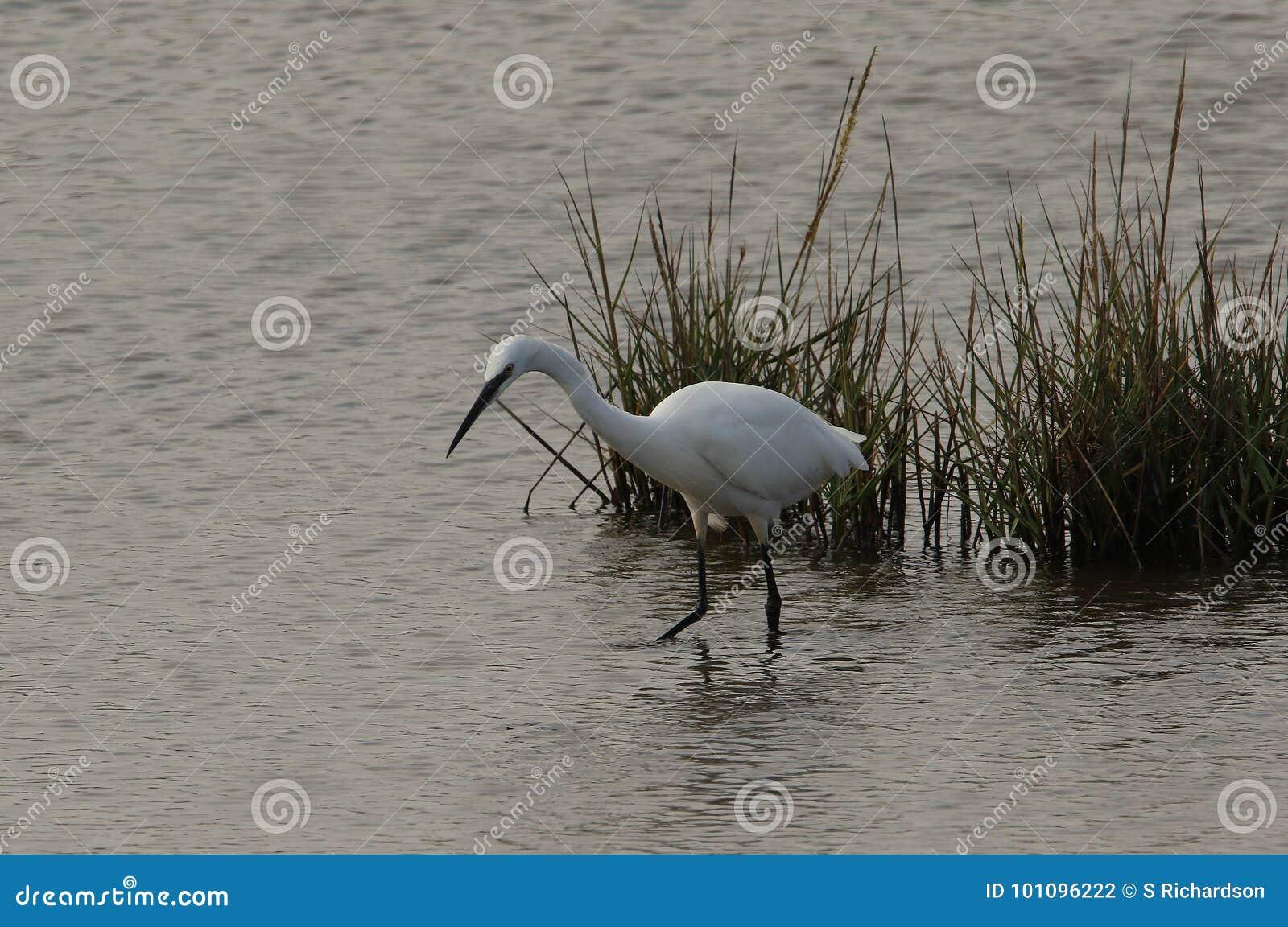 Egret pequeno