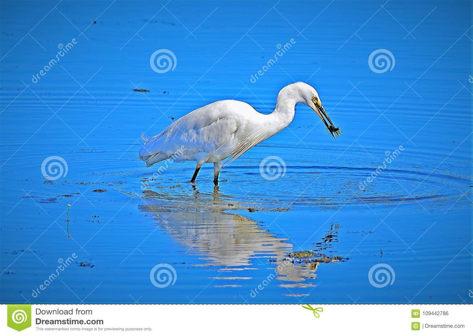 Egret que reflete na captura recente