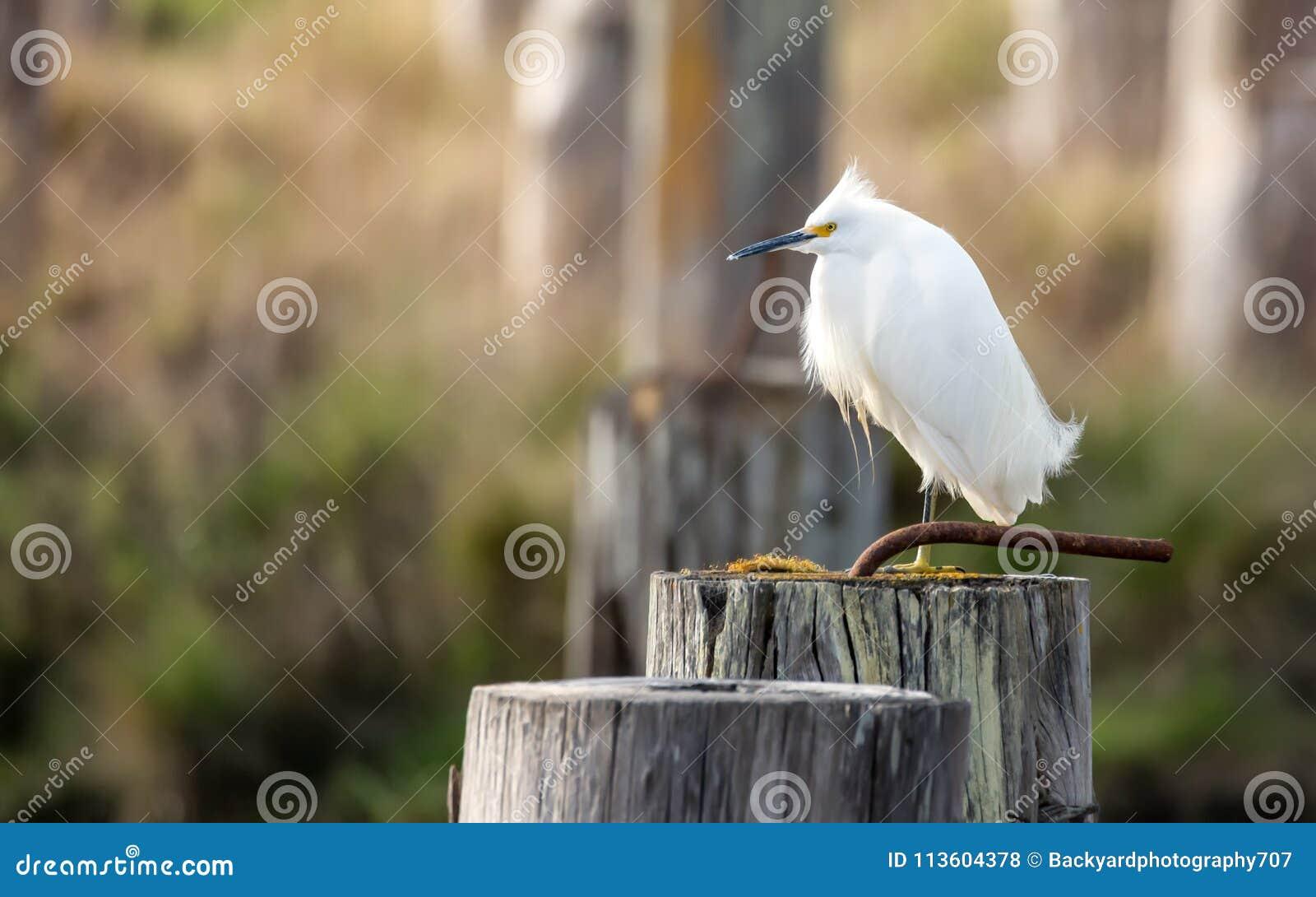 Egret selvagem empoleirado em uma pilha, Arcata, Califórnia, EUA