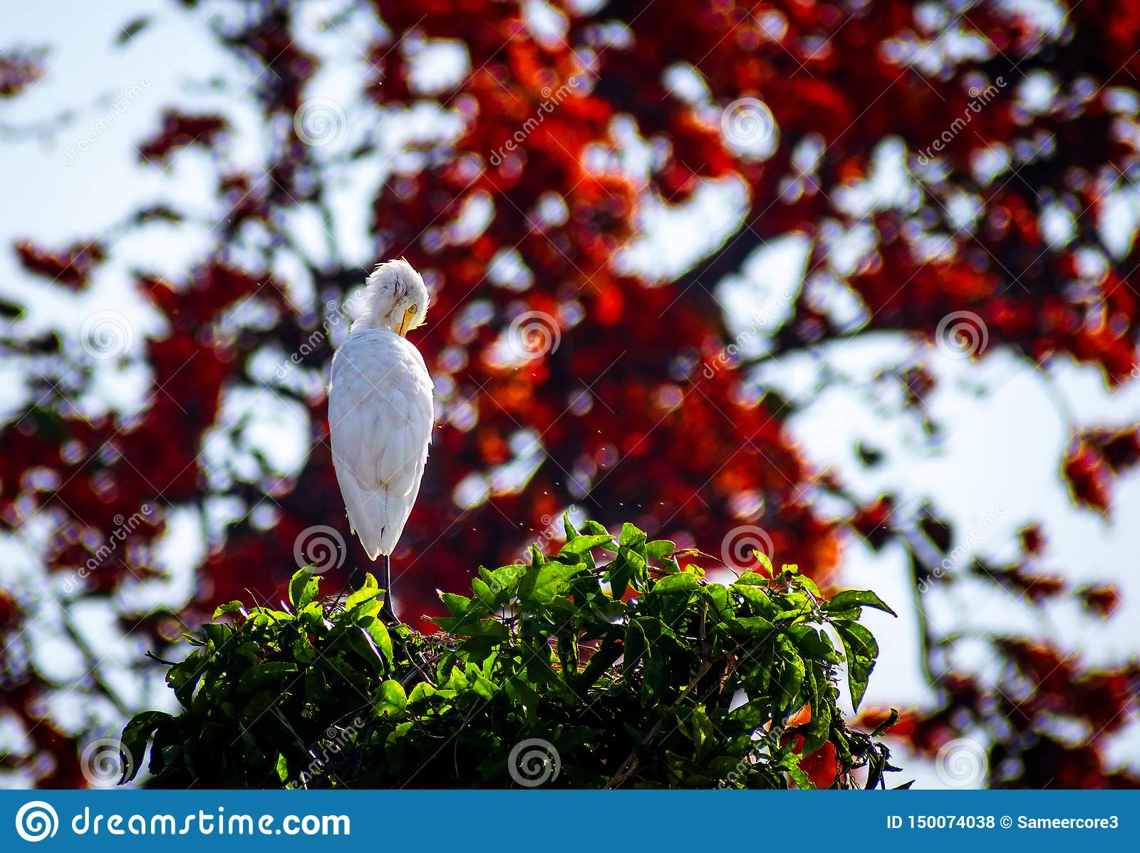 Egret sitting tree top red background