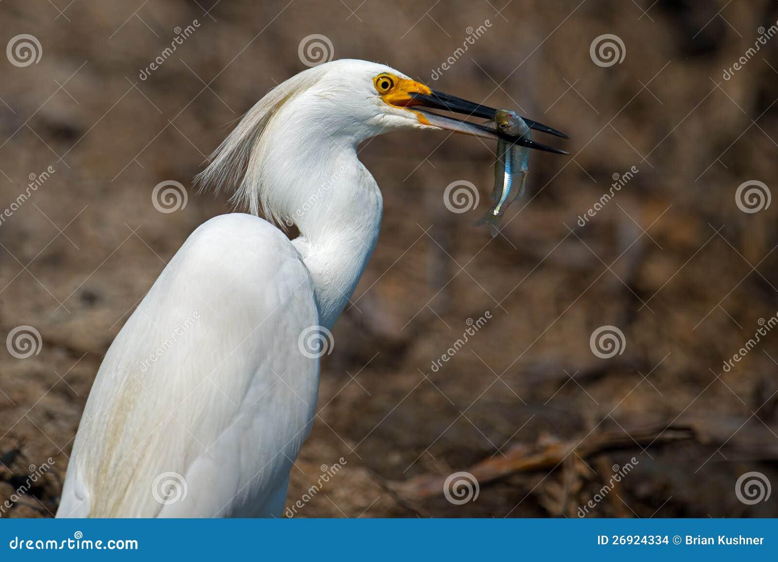 Egret Snowy с рыбами