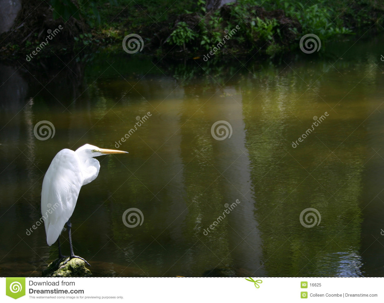 Egret solitário