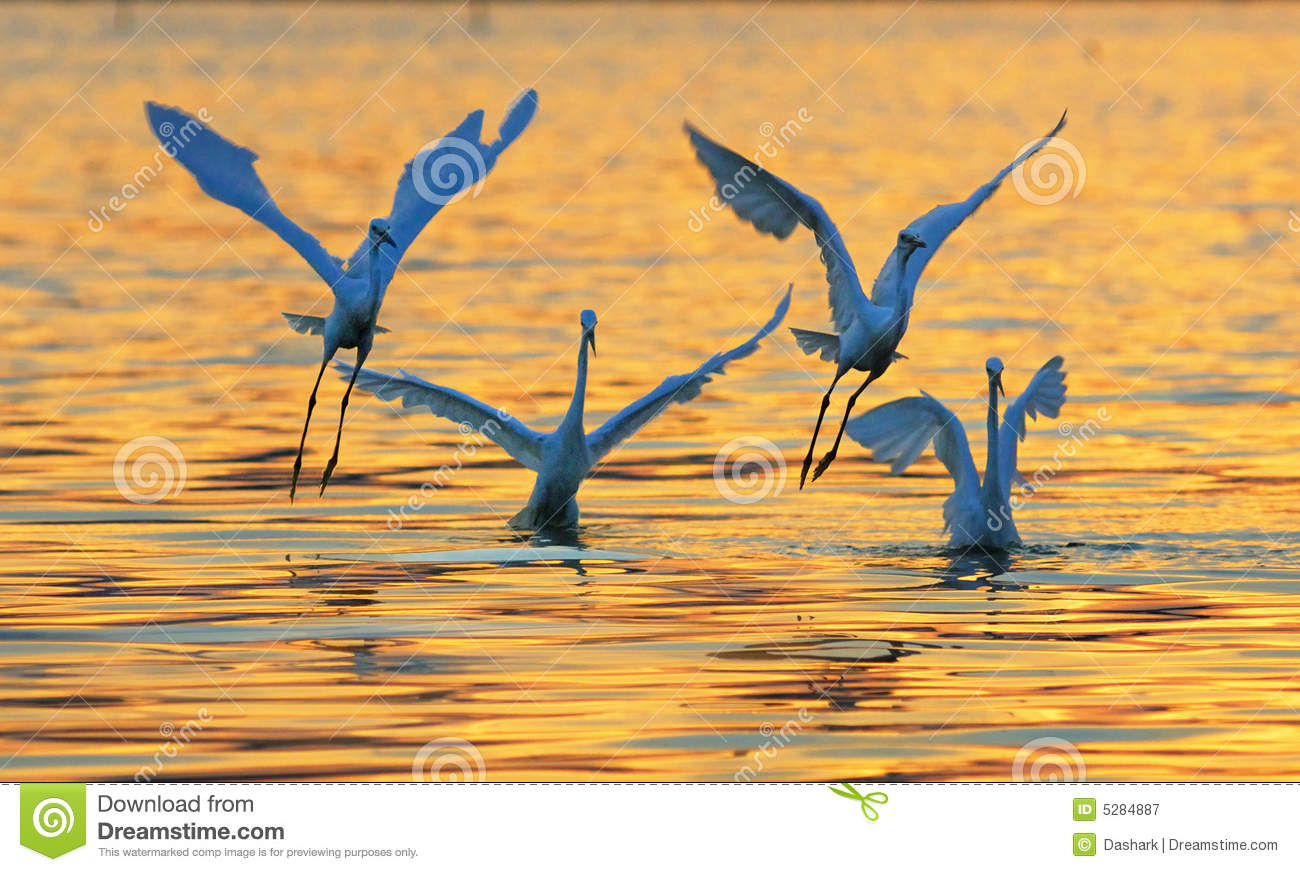 Egret Cartoons: Egrets Play In Sunset Stock Photography