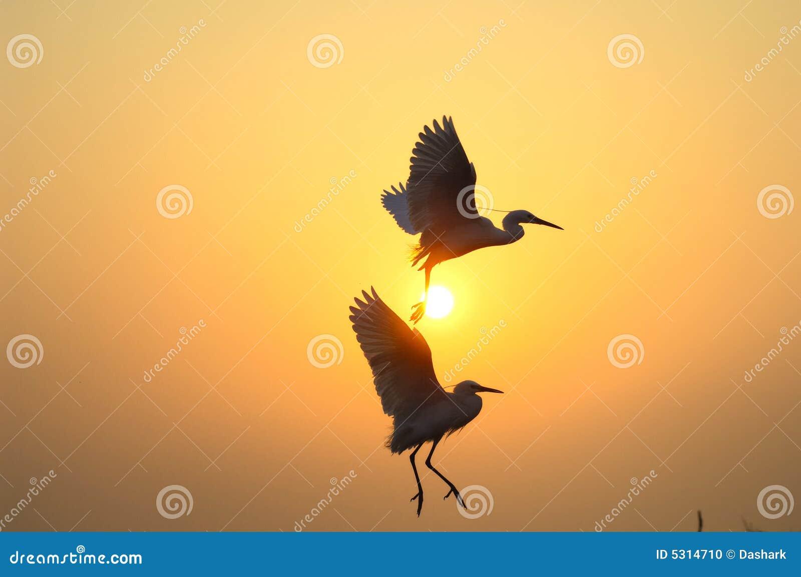 Download Egrets fotografia stock. Immagine di bordo, ritratto, dinamico - 5314710