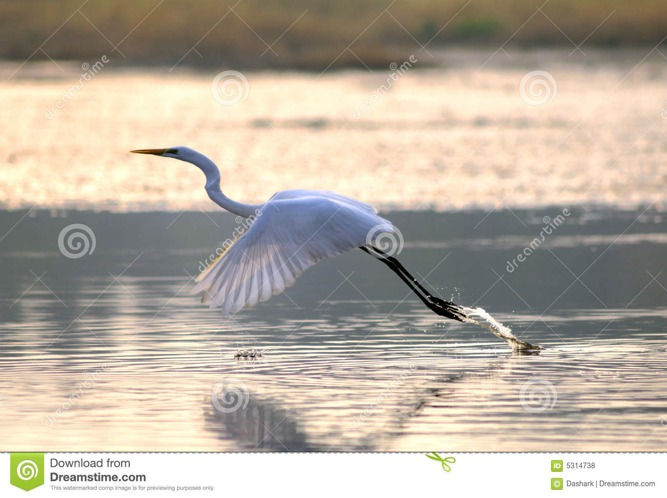 Download Egrets fotografia stock. Immagine di standing, grande - 5314738