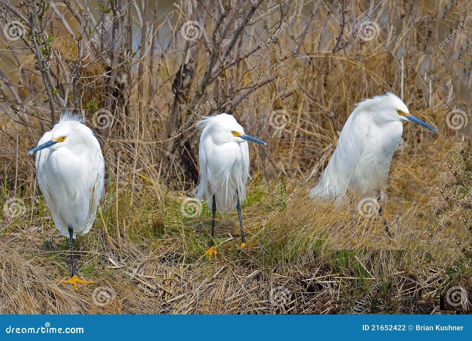 Egrets nevado