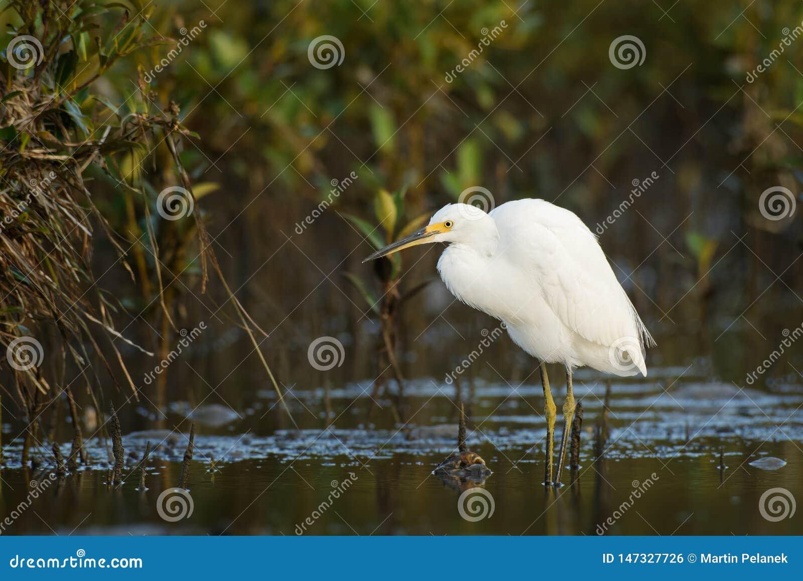 Egretta - condizione di Garzetta dell egretta sulla spiaggia durante i granchi di caccia e di bassa marea