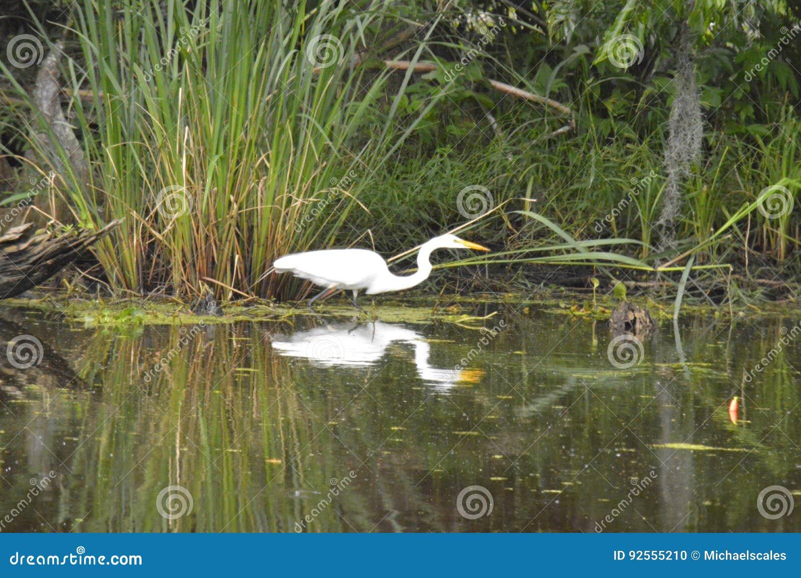 Egretta e riflessione nel ramo paludoso di fiume