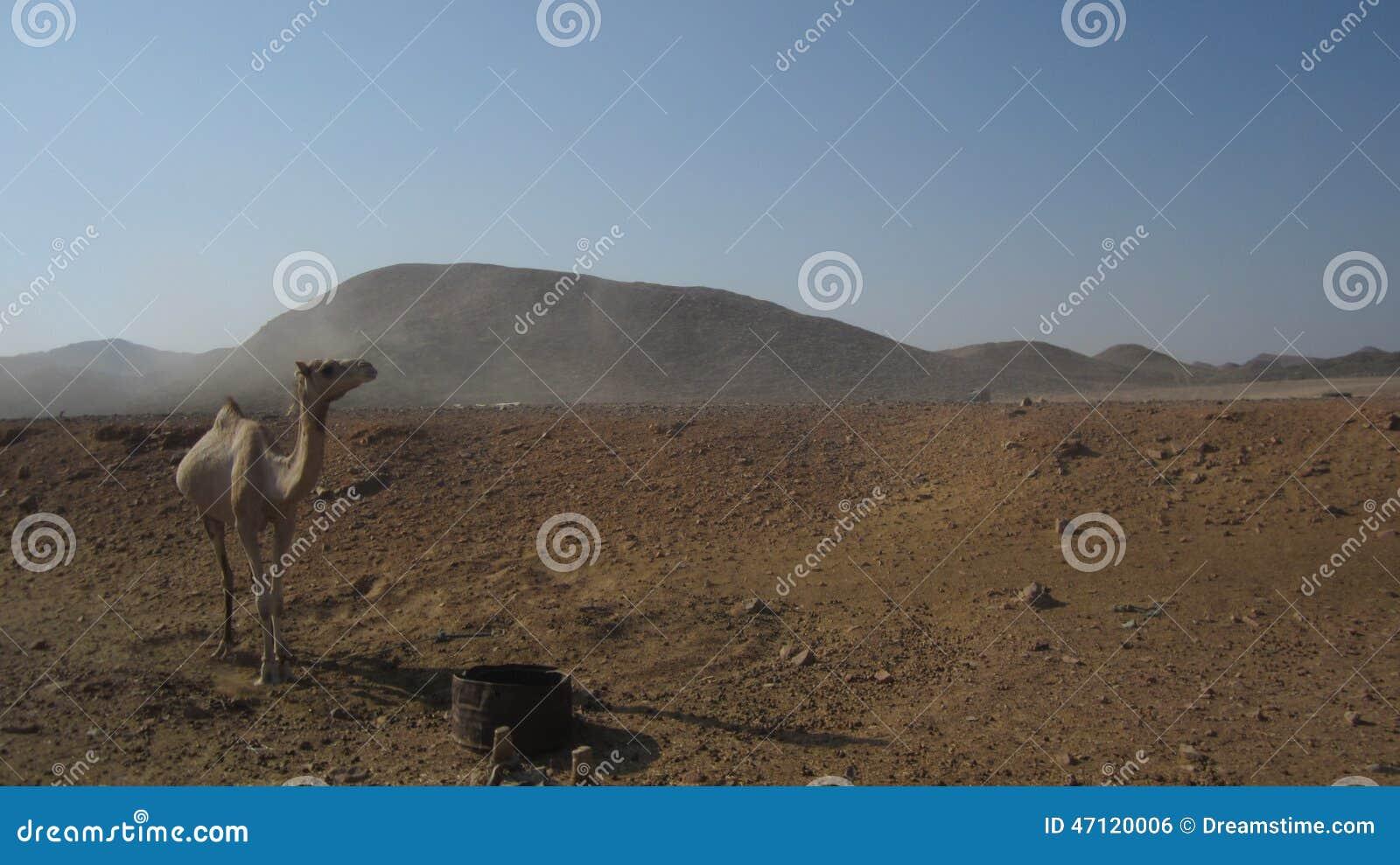 Egypten kamel