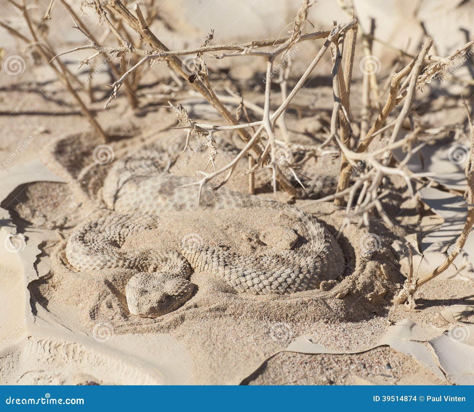 Egyptian desert viper snake in the sand