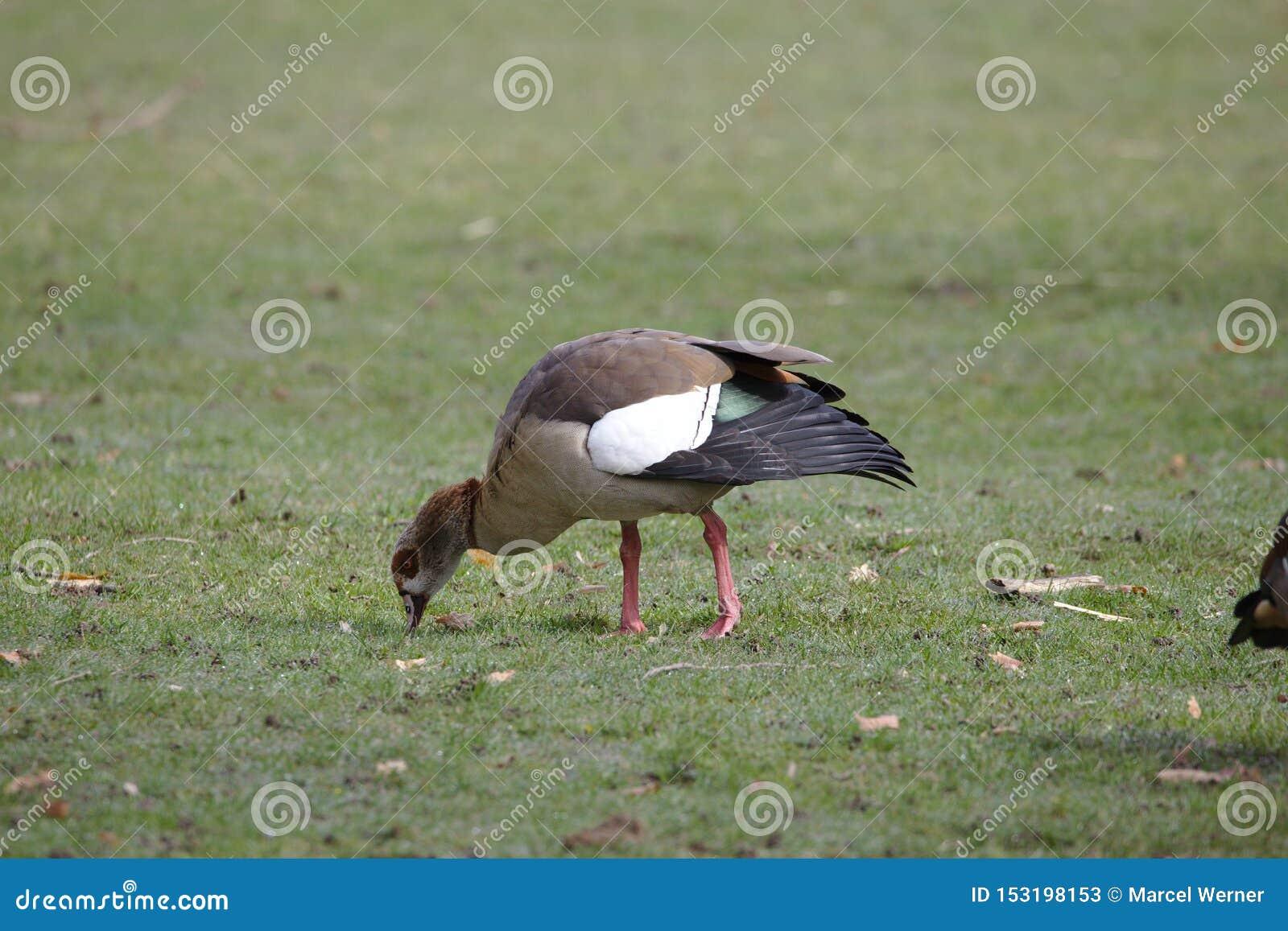 Egyptian goose grazing on grass