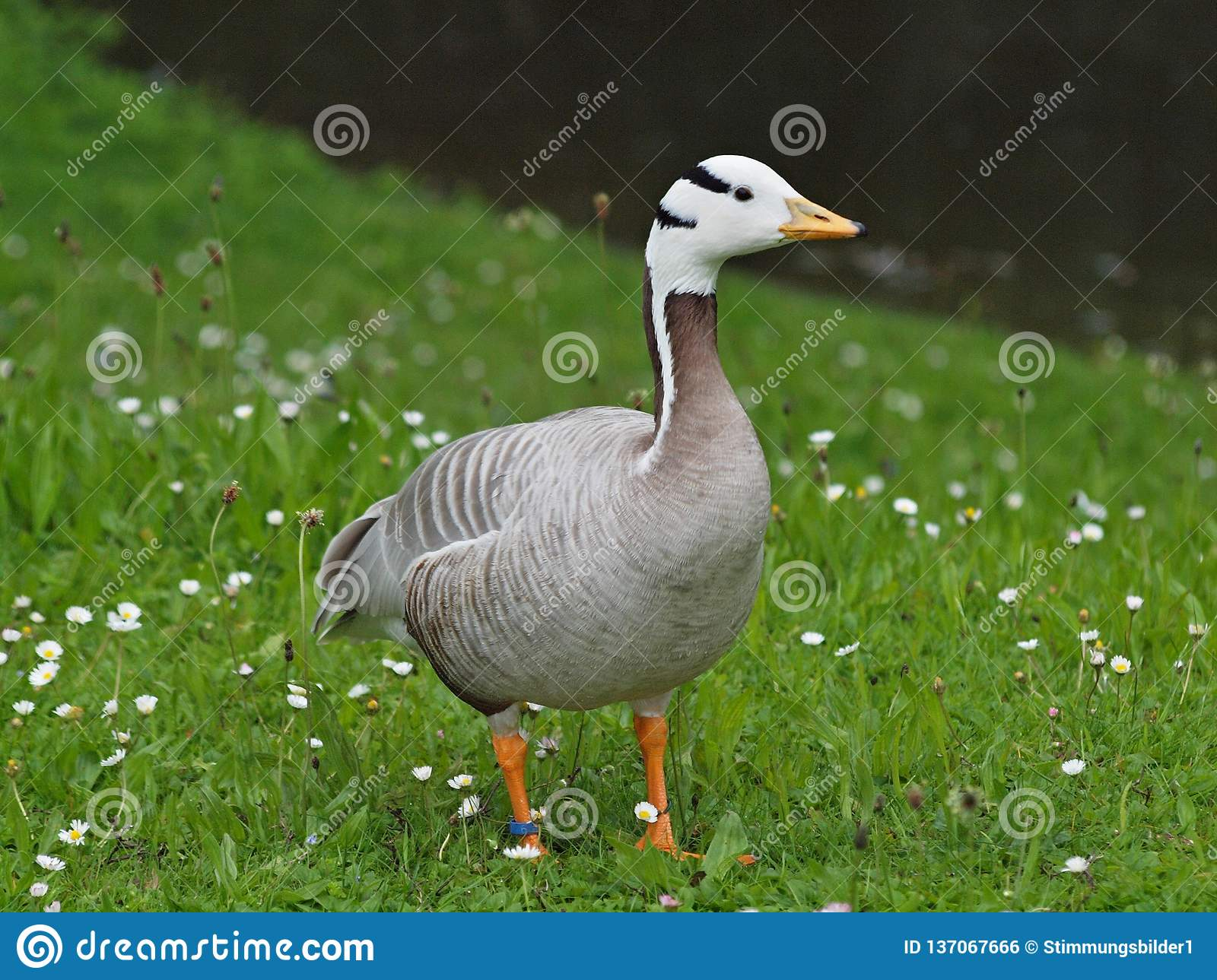 Beautiful Egyptian Goose On A Meadow Stock Photo