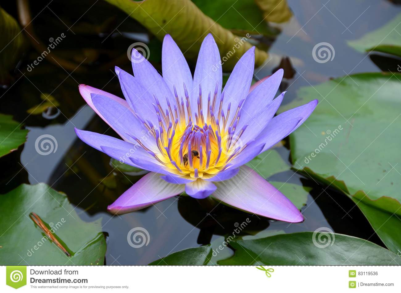 Egyptian Lotus Stock Photo Image Of Thailand Blooming 83119536