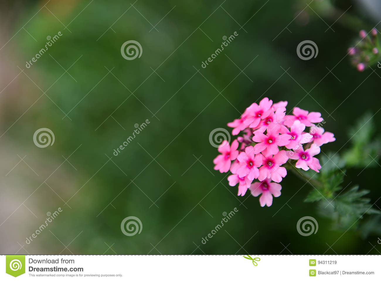 Egyptian starcluster pentas lanceolata stock image image of macro pentas lanceolata or egyptian starcluster is a perennial herb native to tropical eastern africa and arabic penninsula the color of their flowers varies mightylinksfo