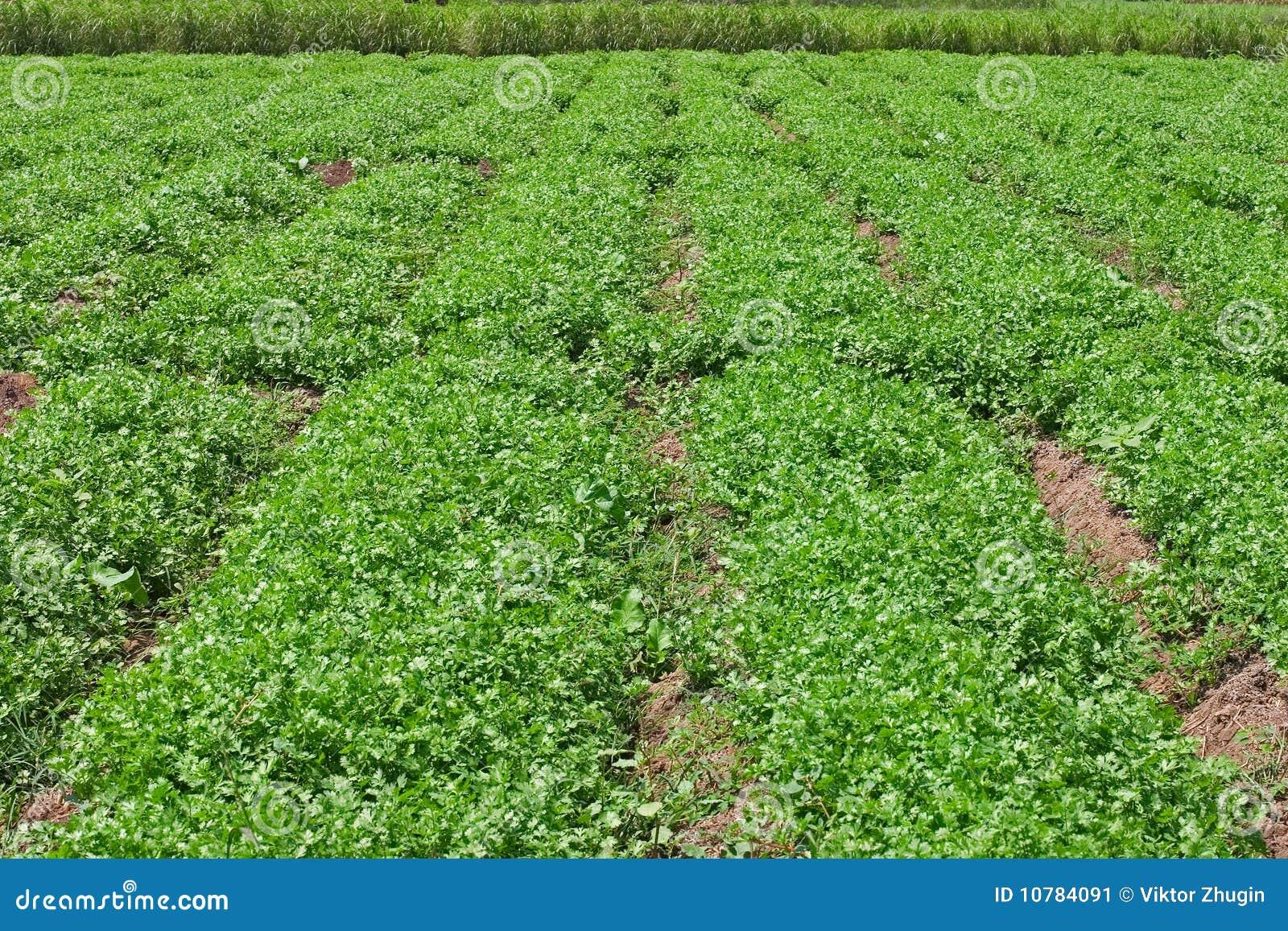 Egyptische aanplanting van koriander