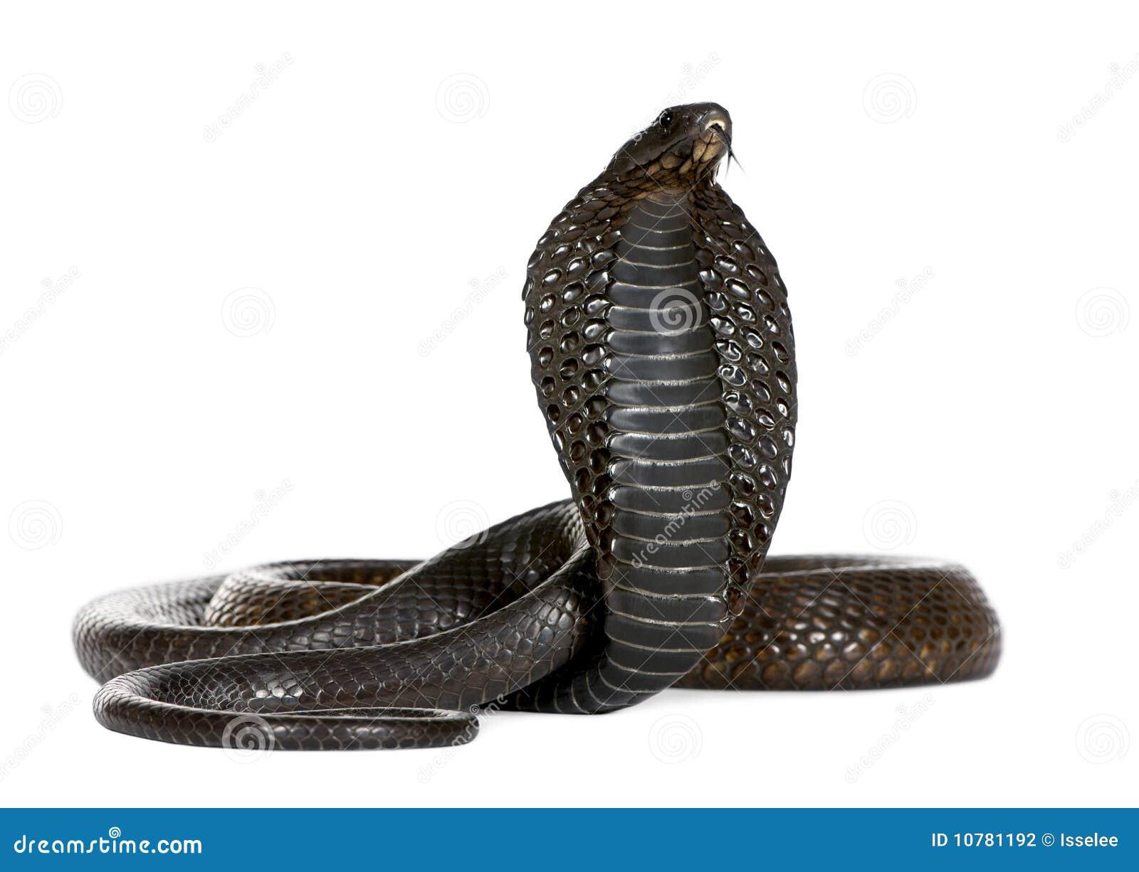 Egyptische Cobra, Naja Haje, studioschot