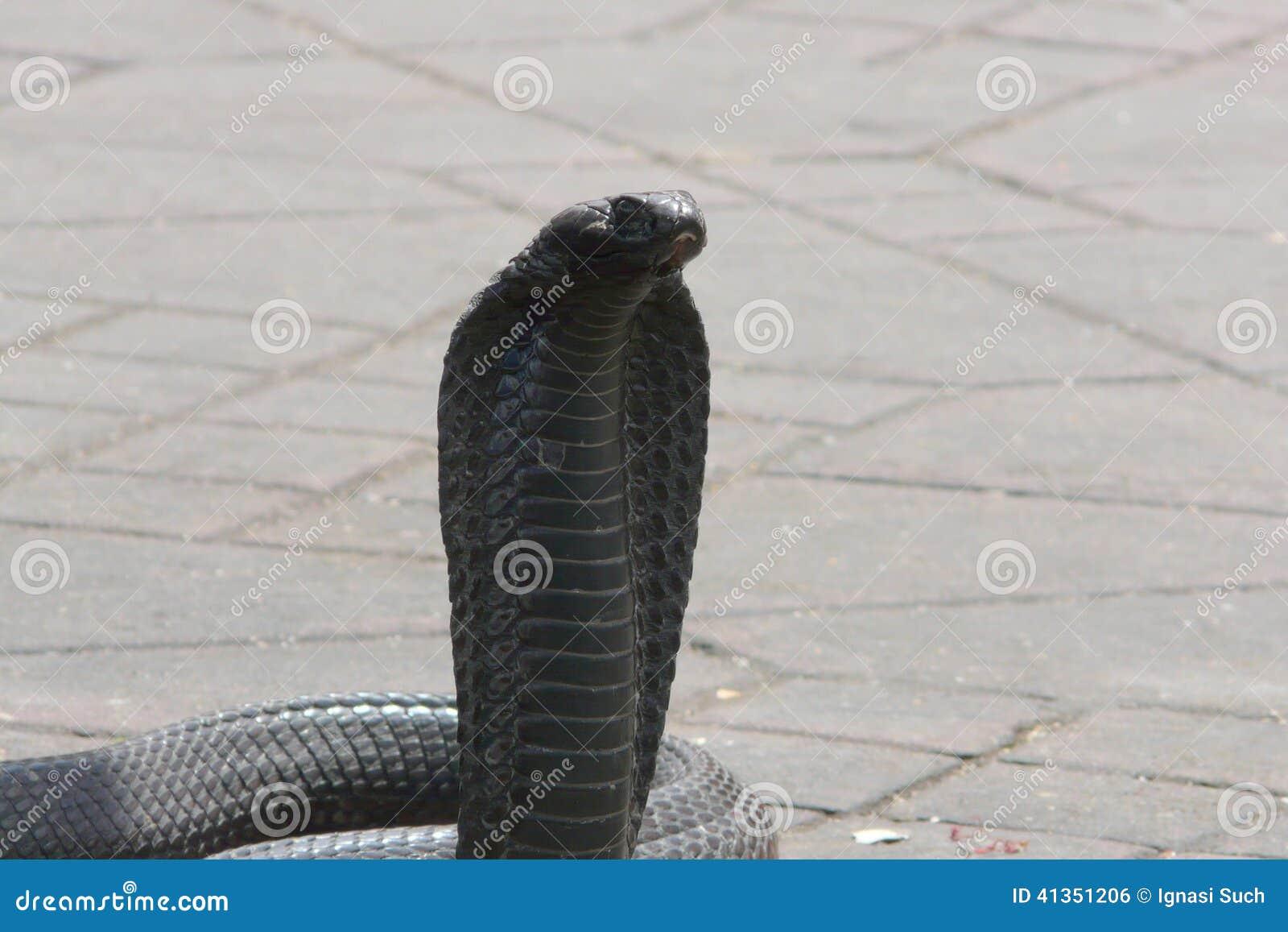 Egyptische die cobra (Naja haje) bij het vierkant van Djemaa Gr Fna, Marrakech, Marokko wordt gecharmeerd