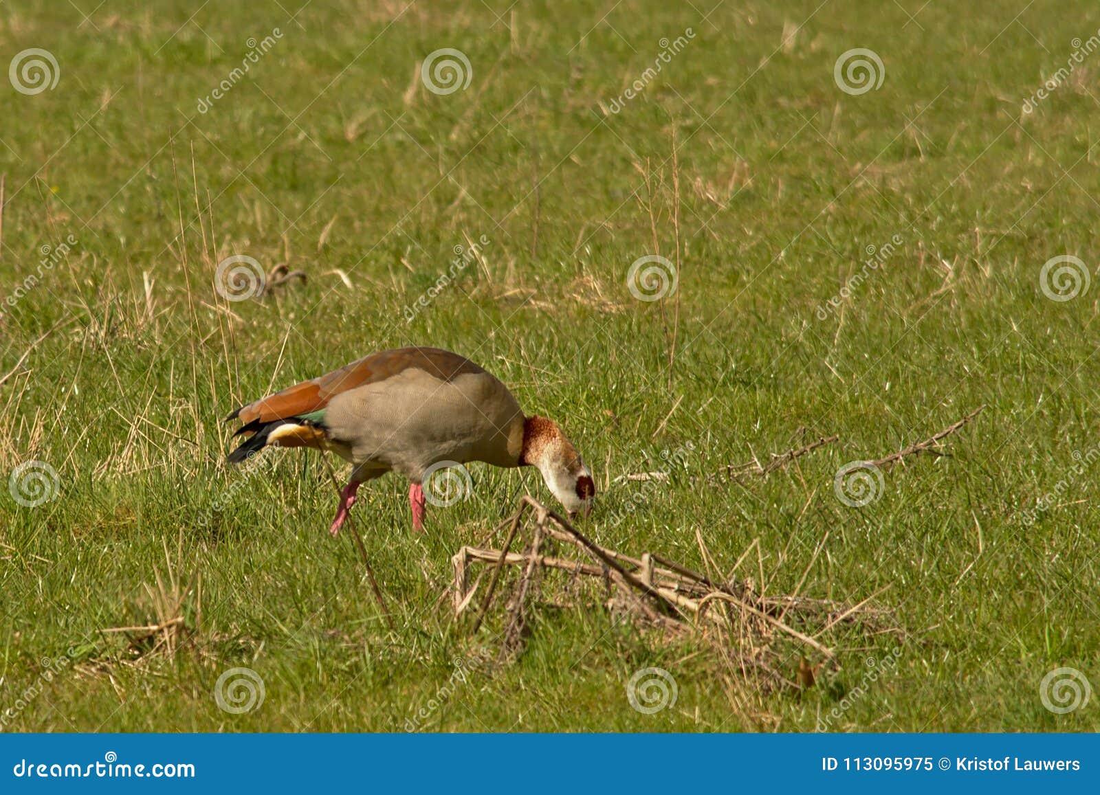 Egyptisk gås som söker efter föda för mat och att picka i jordningen, selektiv fokus - Alopochen aegyptiaca