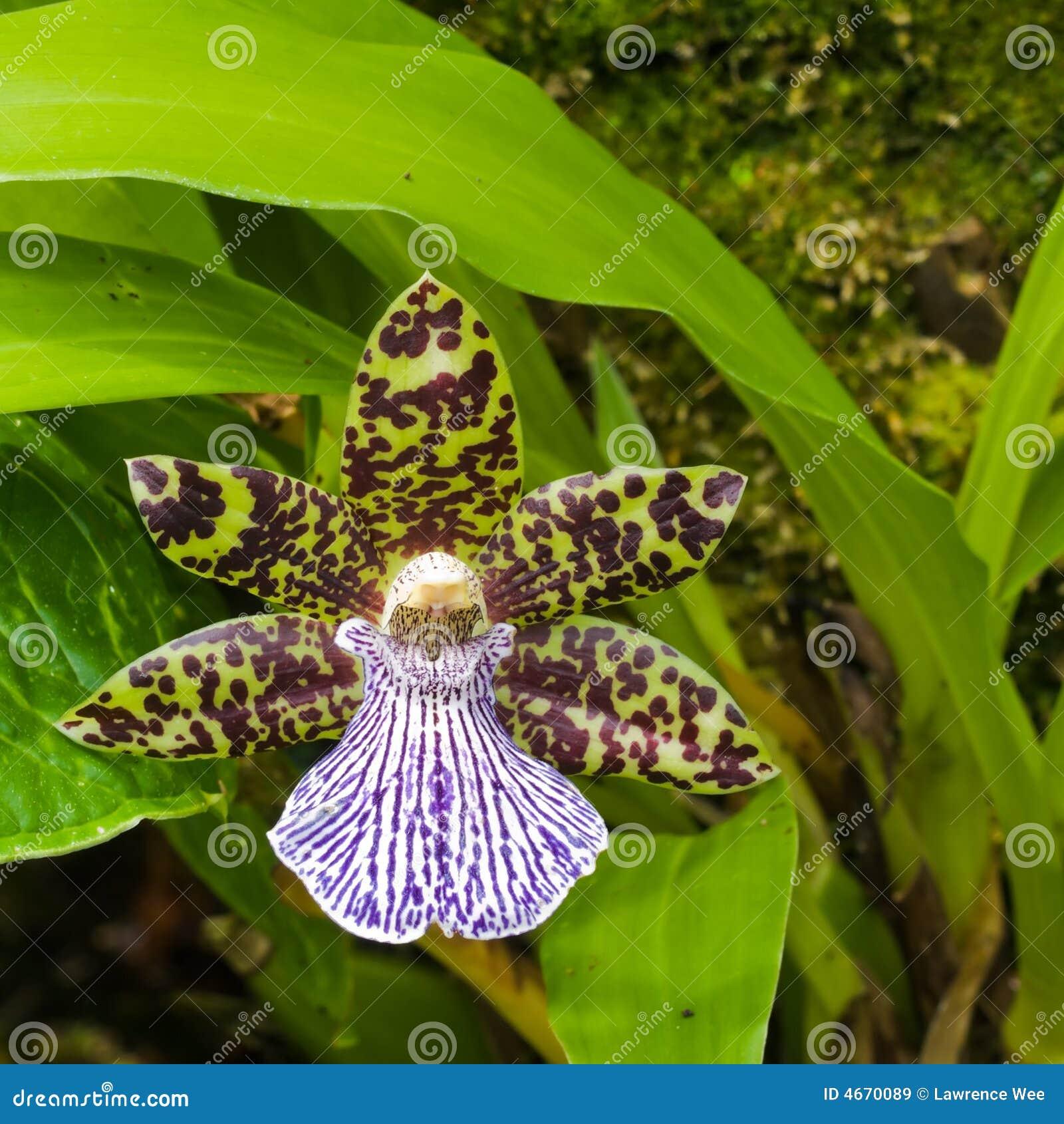 Egzotyczne orchidea