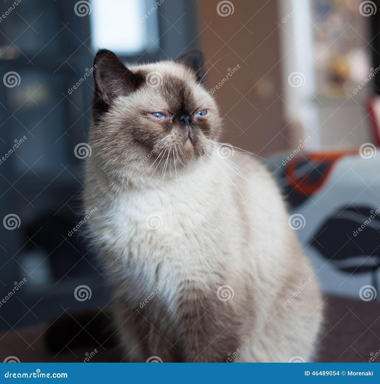 Egzotyczny kota traken