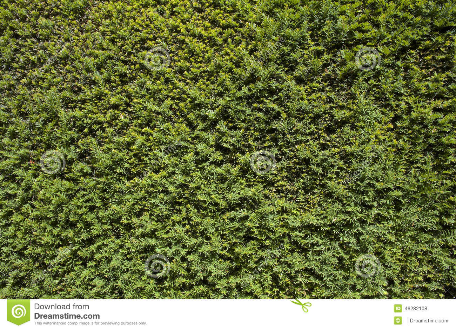 Eiben Baum Hecke stockfoto Bild von betrieb zweig immergrün