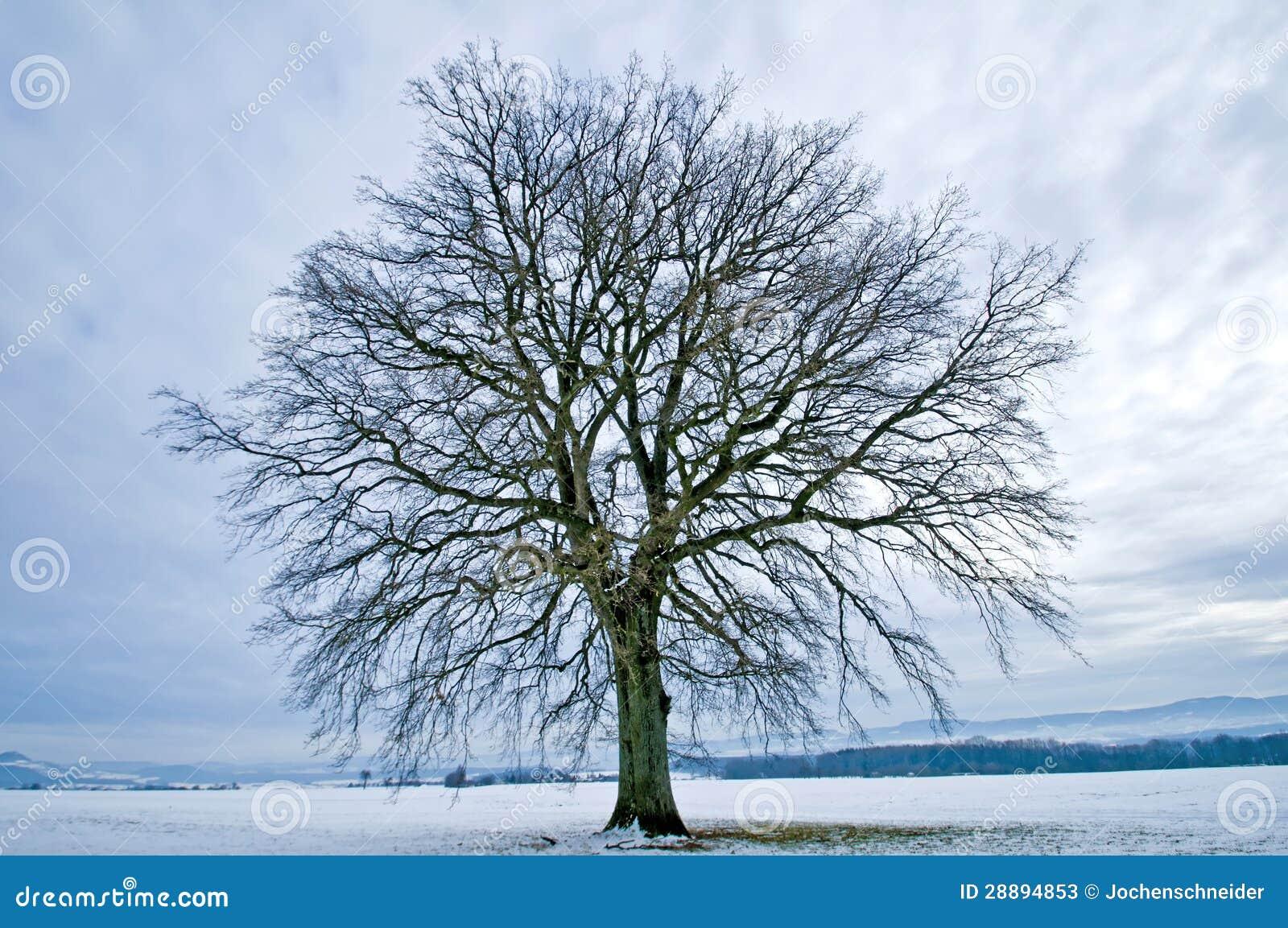 Eiche Im Winter Stockbild Bild Von Baum Kontrast Wolken 28894853