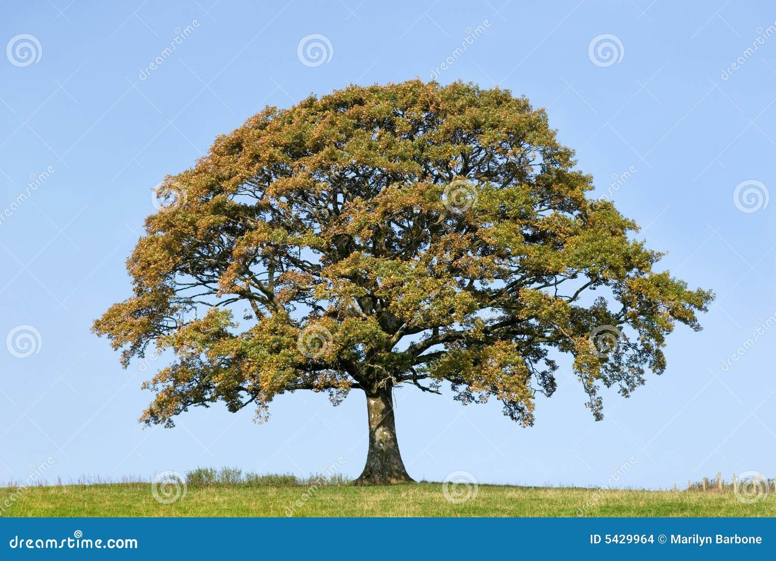 Eichen-Baum im frühen Herbst