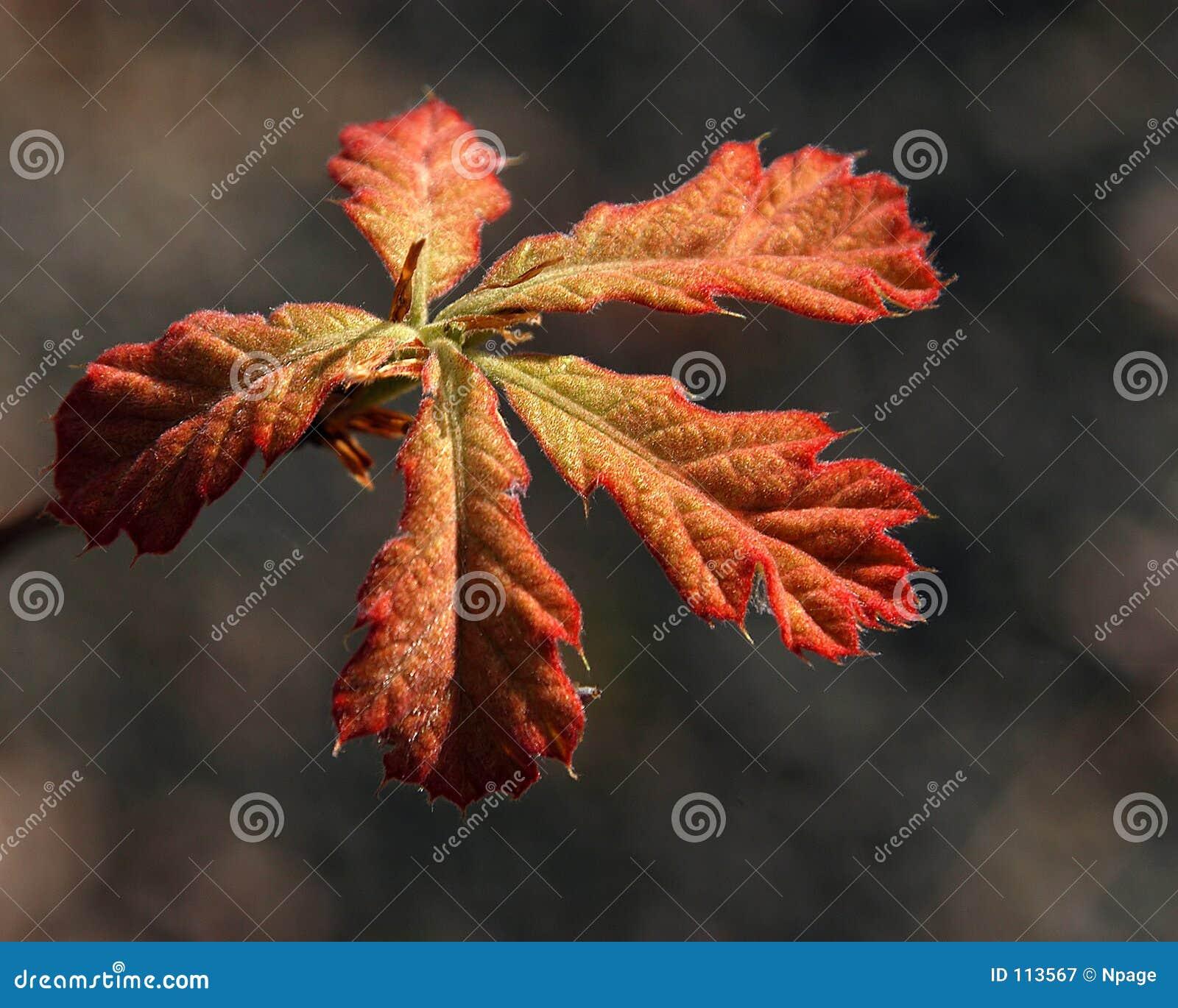 Eichen-Blätter