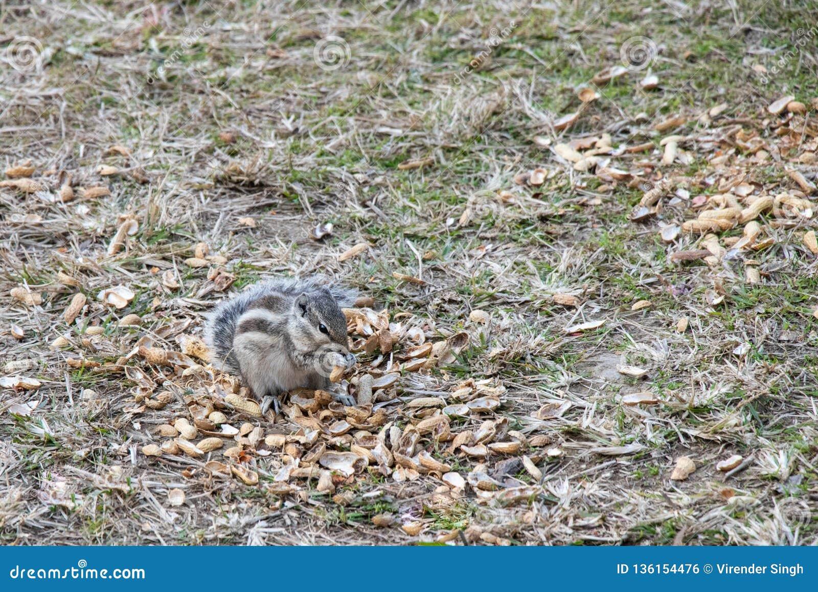 Eichhörnchen, die draußen Erdnüsse essen